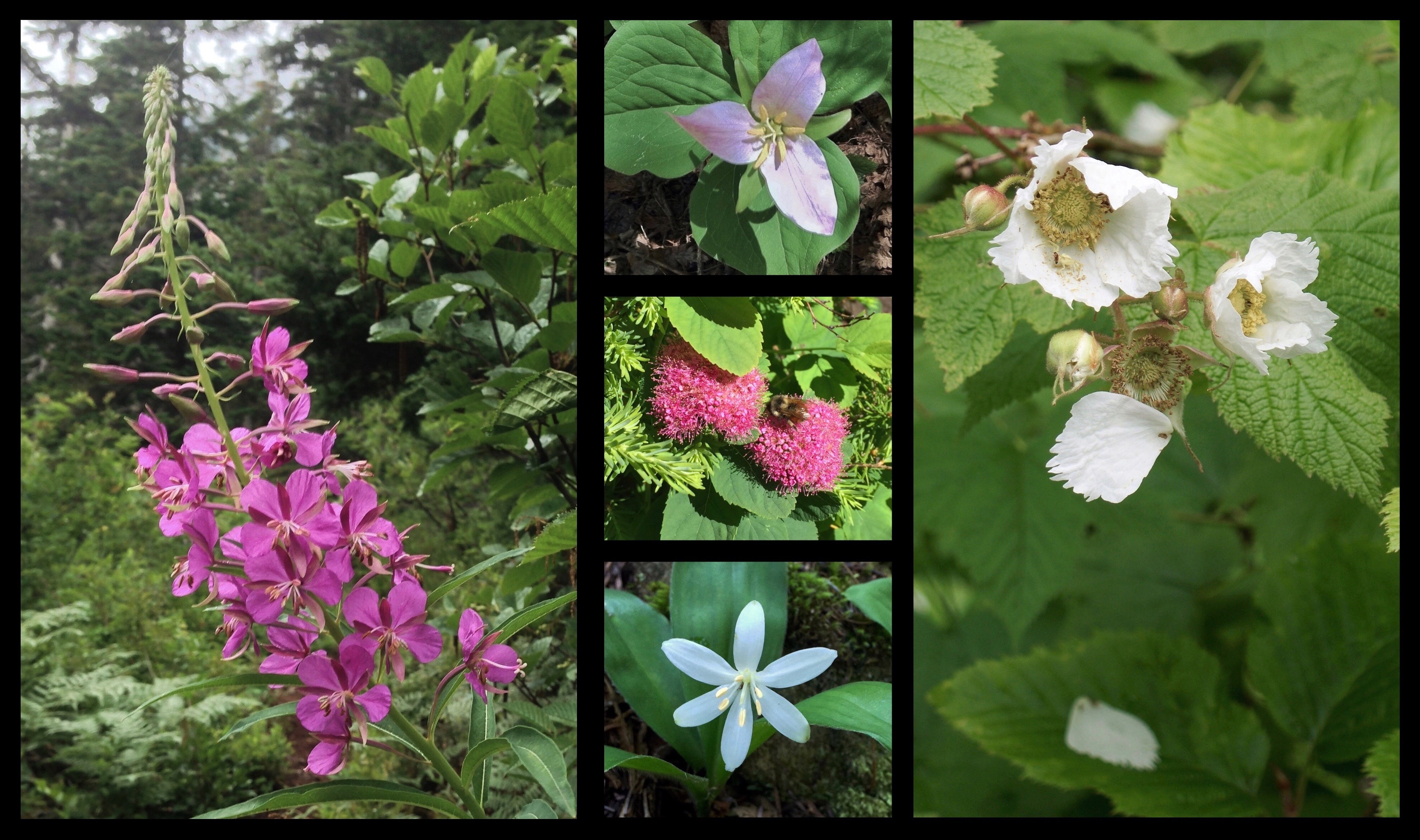 Other, more ordinary blooms also dot the forest, including lumbering spires of fireweed (Chamerion angustifolium) (left), delicately blushing Pacific trilliums (Trillium ovatum) (upper center), clove-scented subalpine spirea (Spiraea splendens) (center), elegantly nodding queen's cups (Clintonia uniflora) (lower center), and shyly shedding thimbleberries (Rubus parviflorus) (right). Annette Lake Trail, July 2010, 2011, and 2015 and August 2013.
