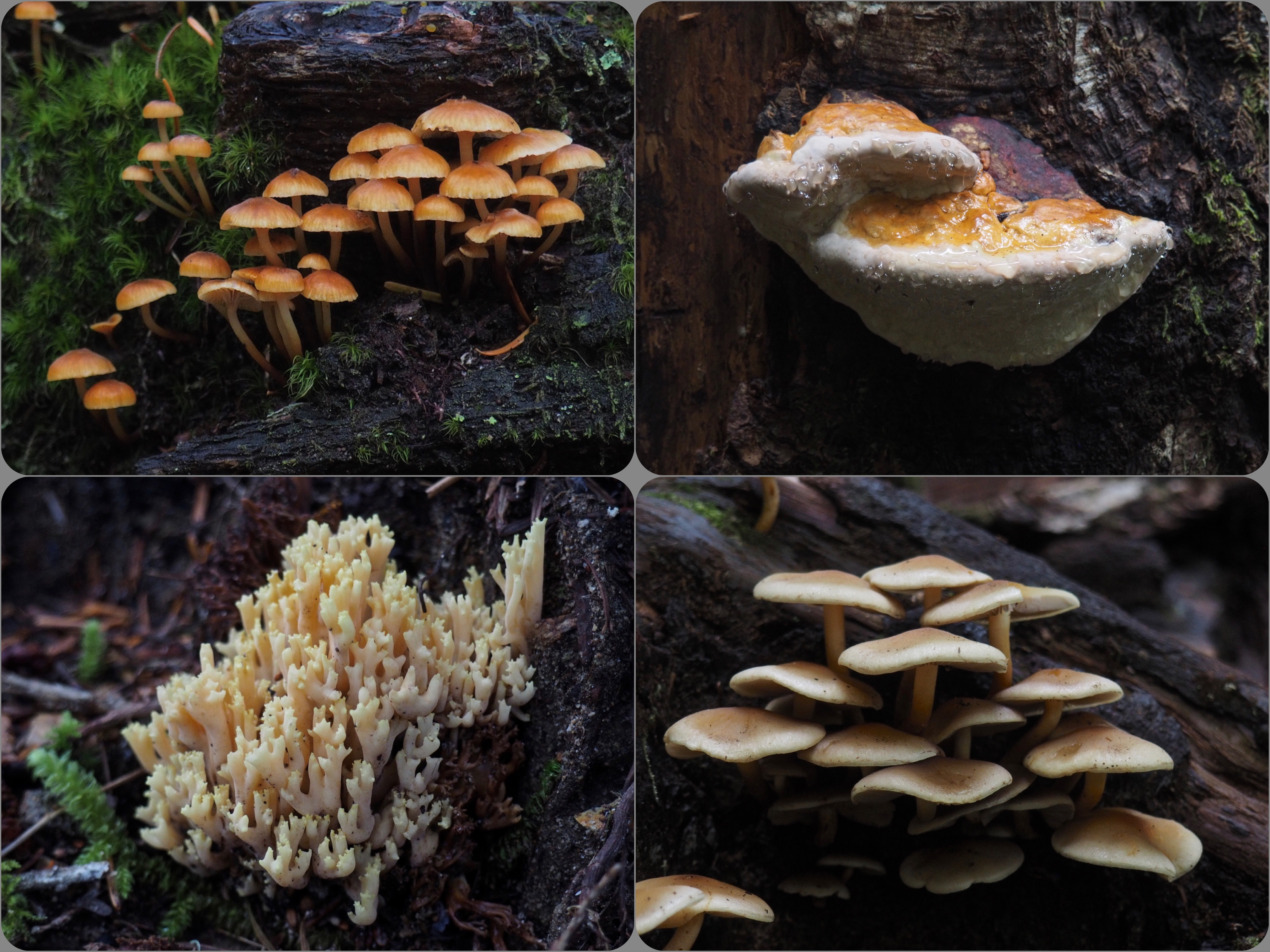 The forest's deep shade and damp litter foster an abundance of unusual fungi, including various mushrooms, wood conks, and coral fungi. Blanca Lake Trail, September 25, 2016.