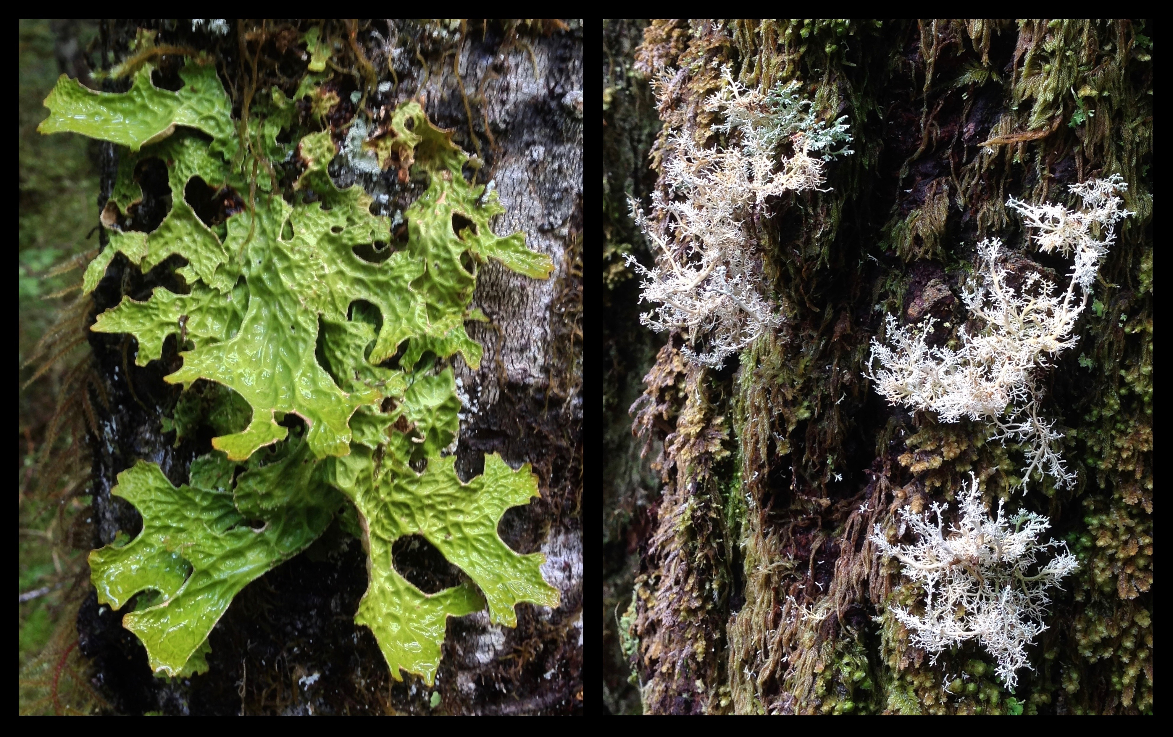 Lichens also flourish in the rainforest's abundant moisture. Long thought by morbid imaginations to resemble lung tissue, the lungwort (Lobaria pulmonaria) (left) is sensitive to air pollution and is thus an indicator of woodland health and maturity. Like a wintry forest in miniature, tiny ball lichens (Spaerophorus sp.) (right) spread delicate branches across their treeside barkscape. Carbon River Green Lake Trail, May 11, 2014.