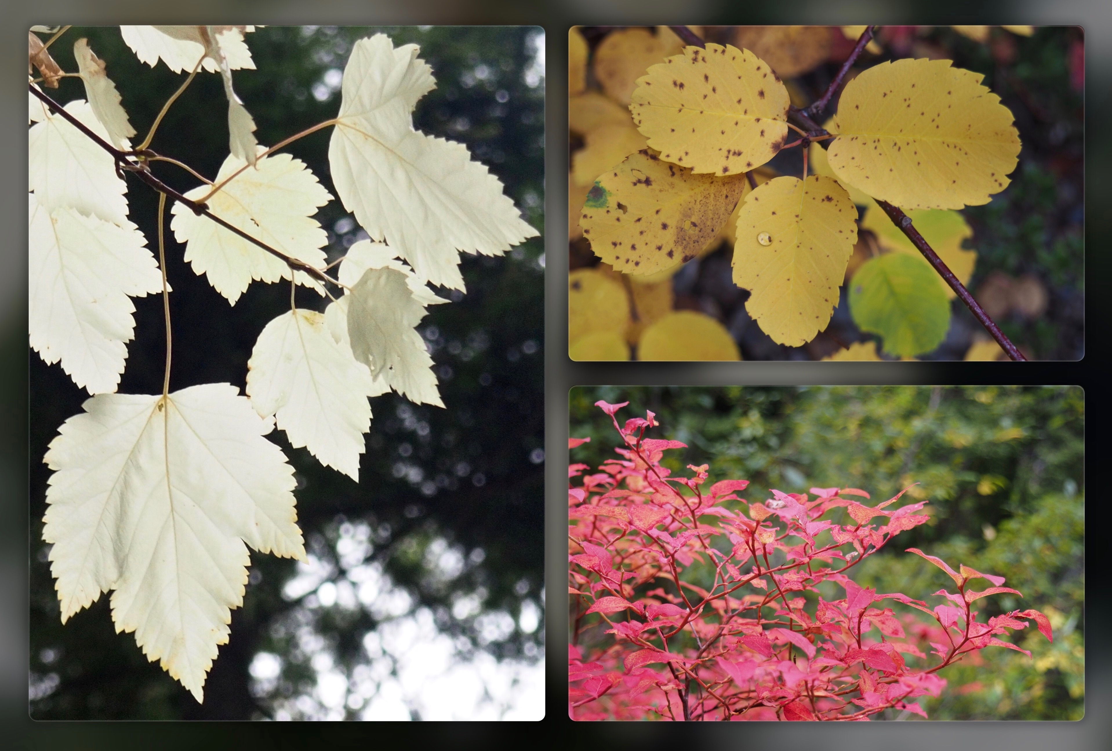 The trailside's autumn palette ranges from the pallid translucence of Rocky Mountain maples (Acer glabrum), to the speckled gold of western serviceberries (Amelanchier alnifolia), to the molten scarlet of blueberries (Vaccinium sp.). Cedar Falls Trail, September 21, 2016.