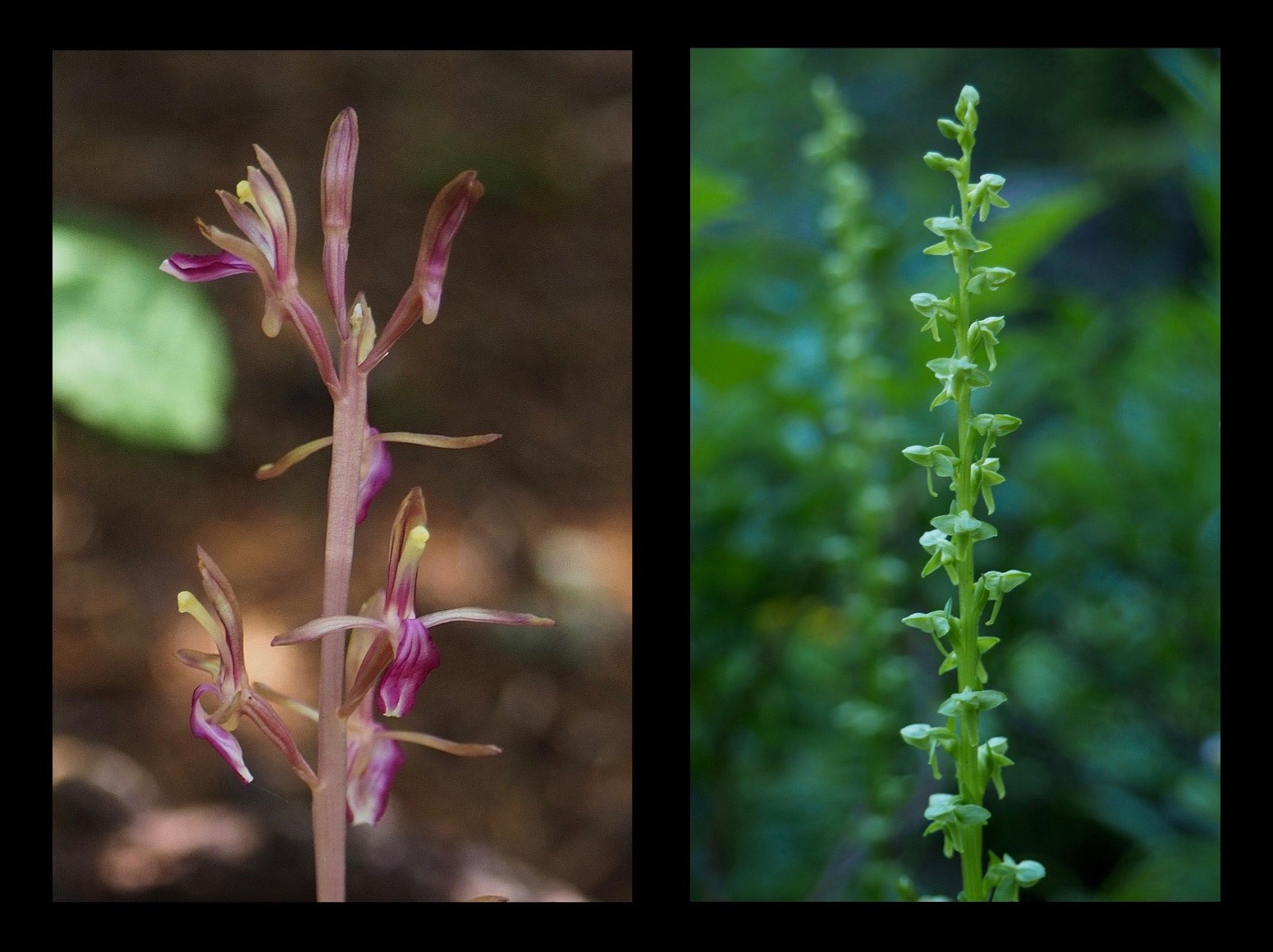 Varied species of diminutive native orchids populate the trailside. Lacking leaves and chlorophyll, western coralroot orchids (Corallorhiza mertensiana) (left) nevertheless thrive in the shadowy woodlands where few other plants bloom because they draw nutrients from fungi in the soil, rather than from light. In contrast, slender bog orchids (Platanthera stricta) (right) appear to contain nothing but chlorophyll, being uniformly green from leaf to bloom and readily disguised amongst the meadow grasses. Walt Bailey Trail, July 24, 2016.