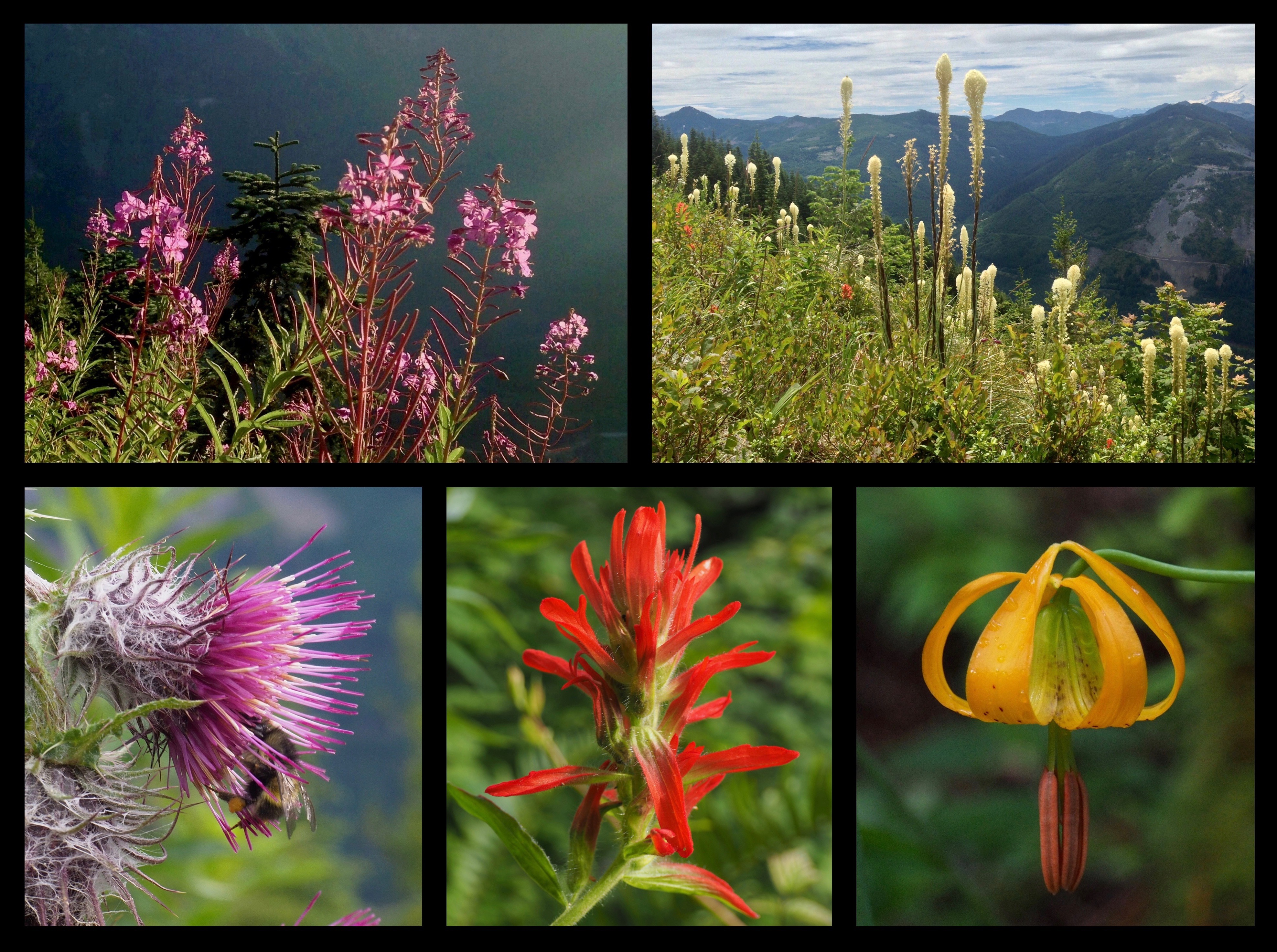 The Ira Spring Trail's switchbacks across Bandera Mountain's treeless middle slope offer a sampling of the riotous wildflower display that carpets its alpine meadow to the summit, including, clockwise from the top right, candle-like plumes of beargrass (Xerophyllum tenax), ever bowing teardrops of Columbia lilies (Lilium columbianum), vivid torches of scarlet paintbrushes (Castilleja miniata), and exotically bristled edible thistles (Cirsium edule). Later in the summer, willowy drifts of fireweed (Chamerion angustifolium) brighten the airy wayside (top left). To reach Bandera Mountain's summit, take the signed side trail at the corner of the Ira Spring Trail's last, long switchback across the mountainside. Ira Spring Trail, July 05, 2014, July 09, 2016, and August 18, 2013.