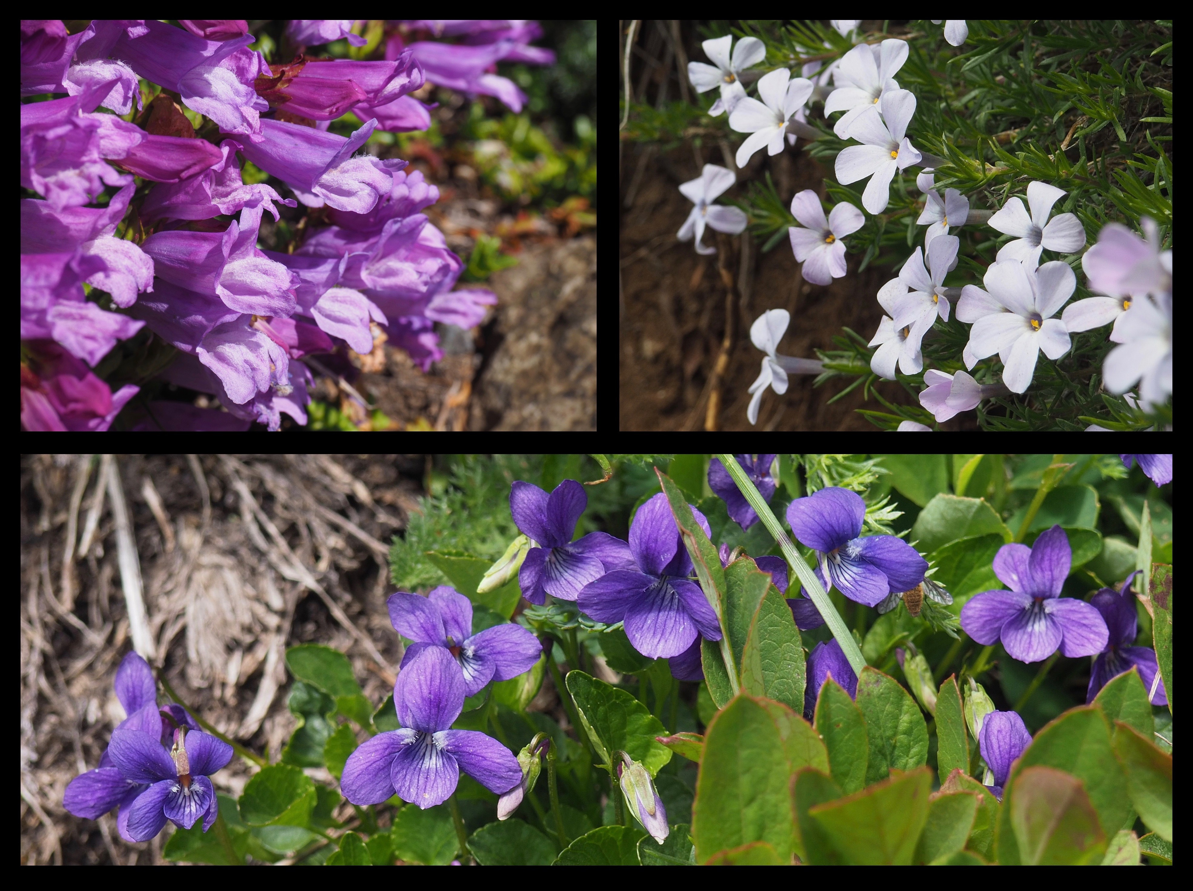 Groundcover blooms soften the mountaintop stone, including Davidson's beardtongues (Penstemon davidsonii) (top left), spreading phlox (Phlox diffusa) (top right), and hookedspur violets (Viola adunca) (bottom). Mount Defiance Trail, July 02, 2016.