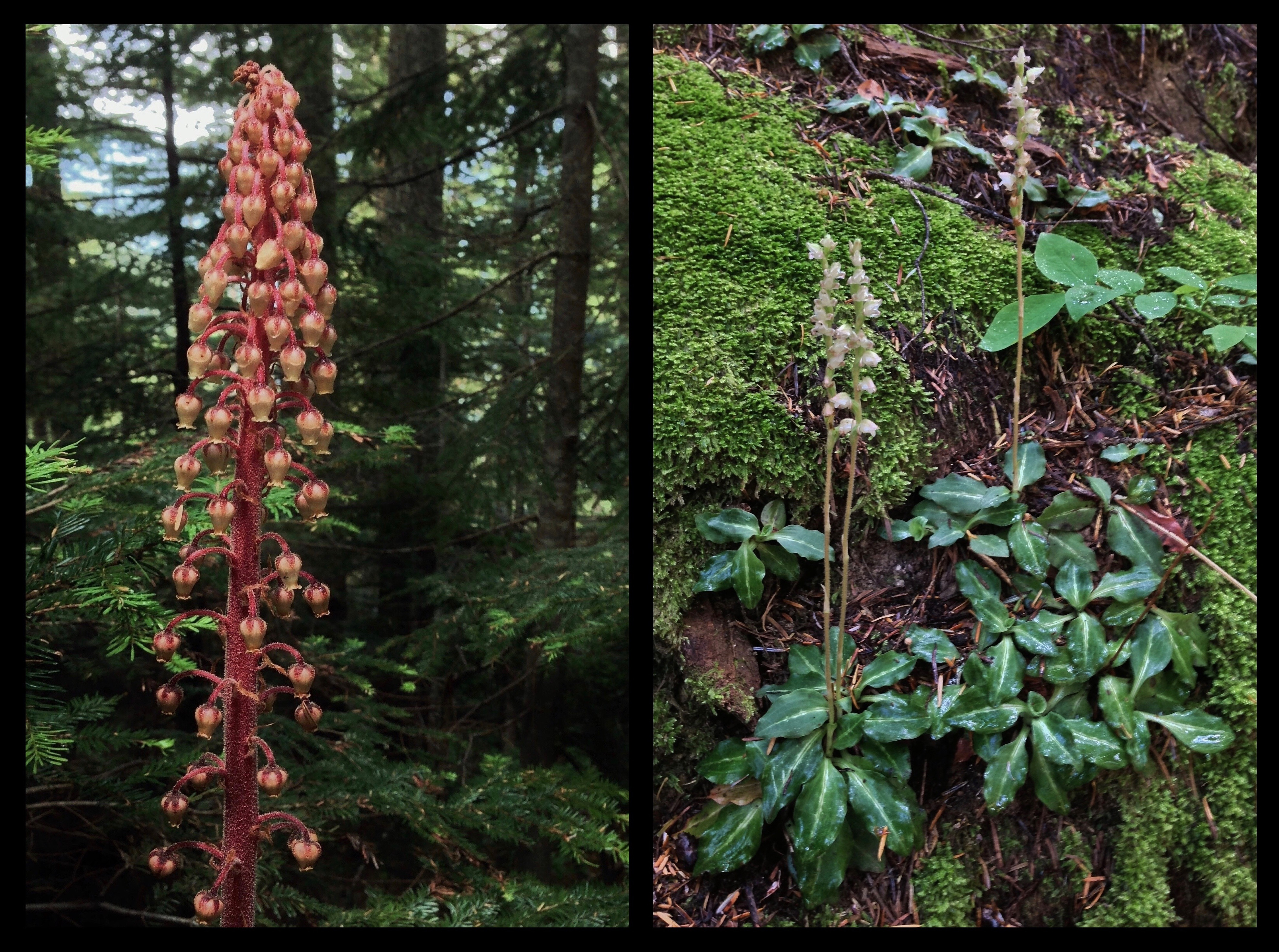 In the woodland wayside, keep an eye out for unusual wildflower species. Named for their glistening, sticky flowers that resemble drops of pitch from the conifers under which they grow, pinedrops (Pterospora andromedea) (left), possess little chlorophyll and live unseen off of fungi in the soil until they sporadically sprout leafless flower stalks above their subterranean homes. The rattlesnake orchid (Goodyera oblongifolia) (right) is fancifully named for the reticulated pattern that sometimes marks its leaves. Annette Lake Trail, August 11, 2013.