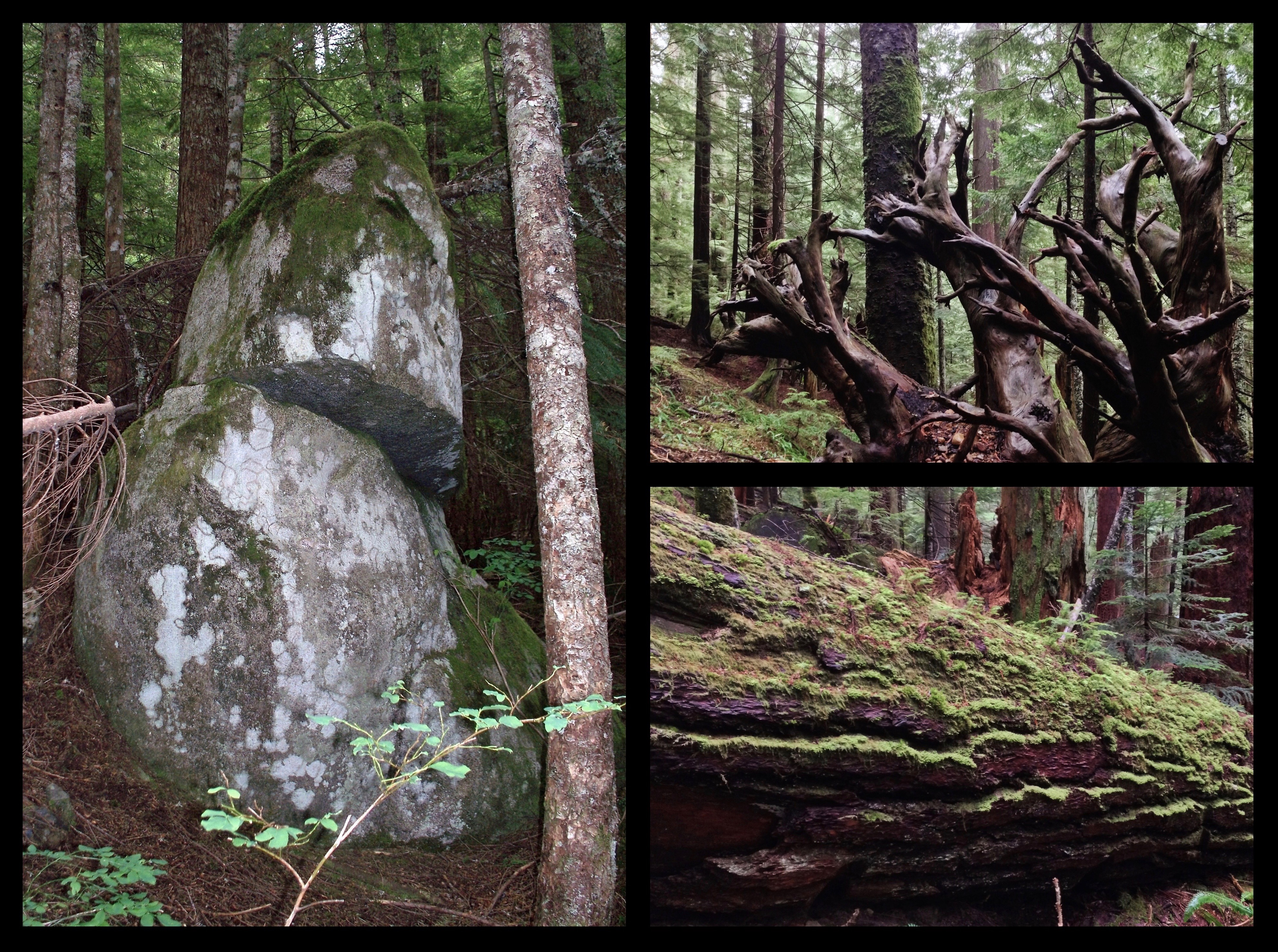 Along the trail, keep watch for curious bits of natural woodland sculpture, including a fractured, yet untoppled boulder amid the forest columns (left), the roots of a fallen tree reaching like so many disembodied arms (upper right), and the sinuous, moss-lined grooves of another nurse log reclining in the wayside (lower right). Annette Lake Trail, July 04, 2010 and December 29, 2013.