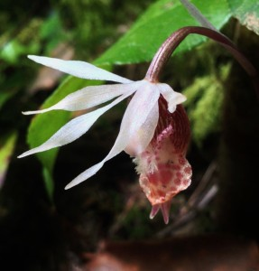 A western fairy slipper (Calypso bulbosa var. occidentalis) bows demurely from the wayside shadows. Mount Storm King, May 17, 2014.