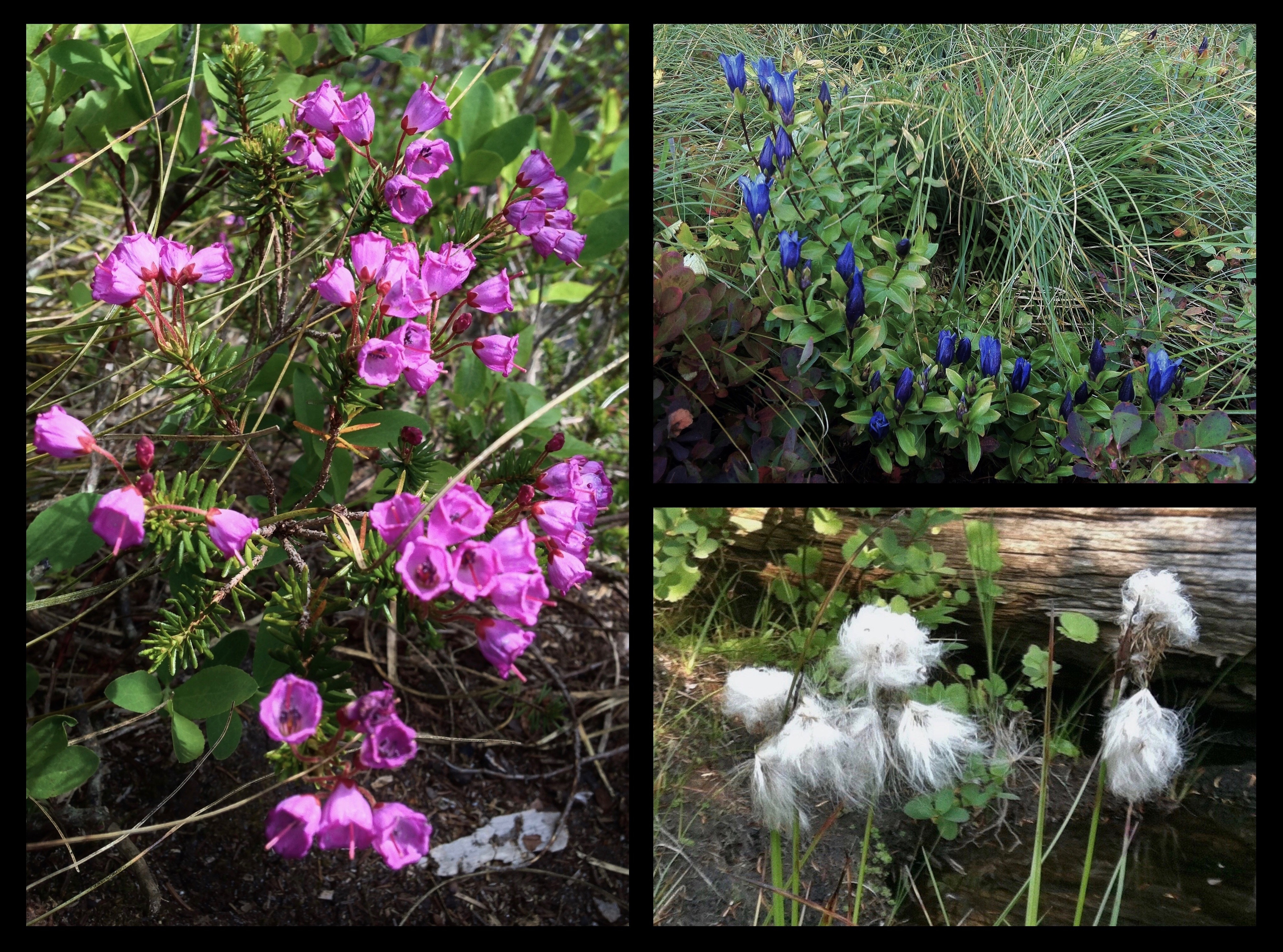In early summer, pink mountain-heath (Phyllodoce empetriformis) (left) brightens the boggy uplands around the lakes. Later in the summer and autumn, mountain bog gentians (Gentiana calycosa) (upper right) bloom in jewel-like drifts and cotton grass (Eriophorum sp.) (lower right) hoists tiny, threadbare white flags throughout. Ira Spring Trail, July 04, 2013 and September 16, 2012.