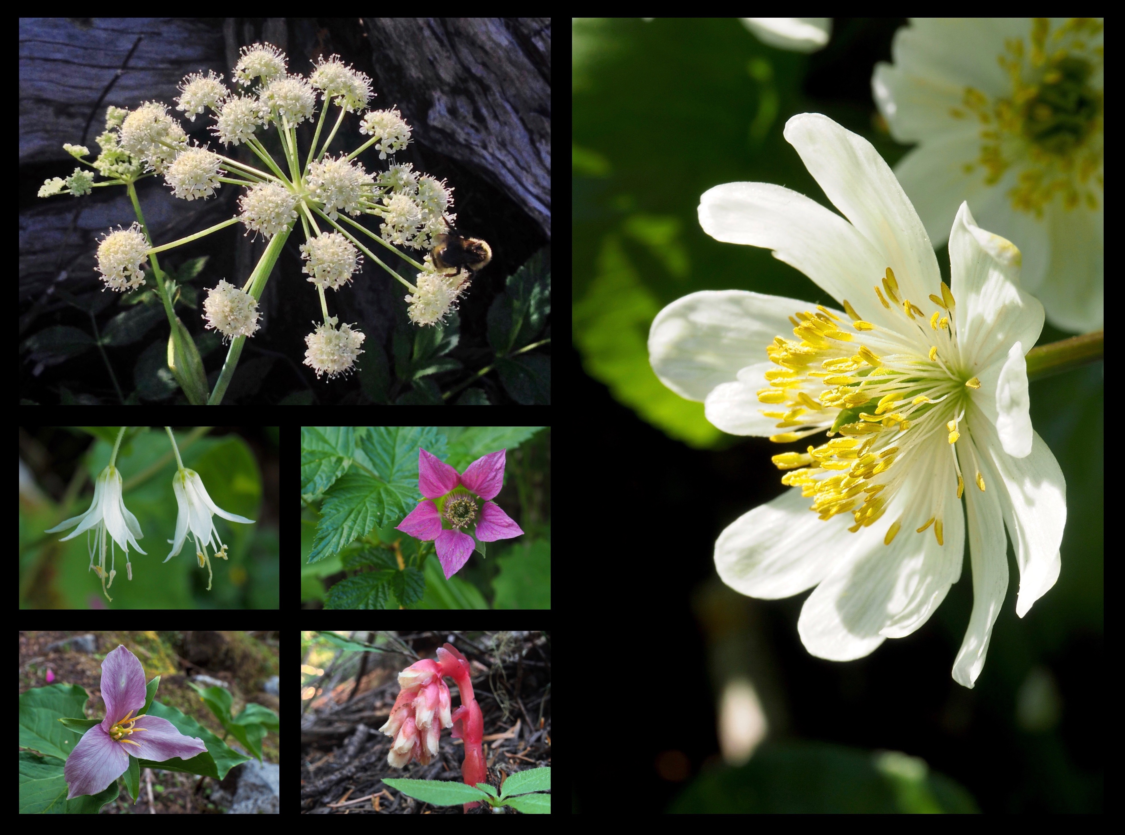 Wildflowers are especially abundant along the trail in the early spring and continuing through summer, including sharptooth, or, Lyall's angelicas (Angelica arguta) (top left), Hooker's fairy bells (Prosartes hookeri) (center left), salmonberries (Rubus spectabilis) (center), Pacific trilliums (Trillium ovatum) (lower left), pinesaps (Monotropa hypopitys a.k.a. Hypopitys monotropa) (lower center), and white marsh marigolds (Caltha leptosepala) (right). Melakwa - Pratt Lake Traverse, June 05, 2016 and August 03, 2014.
