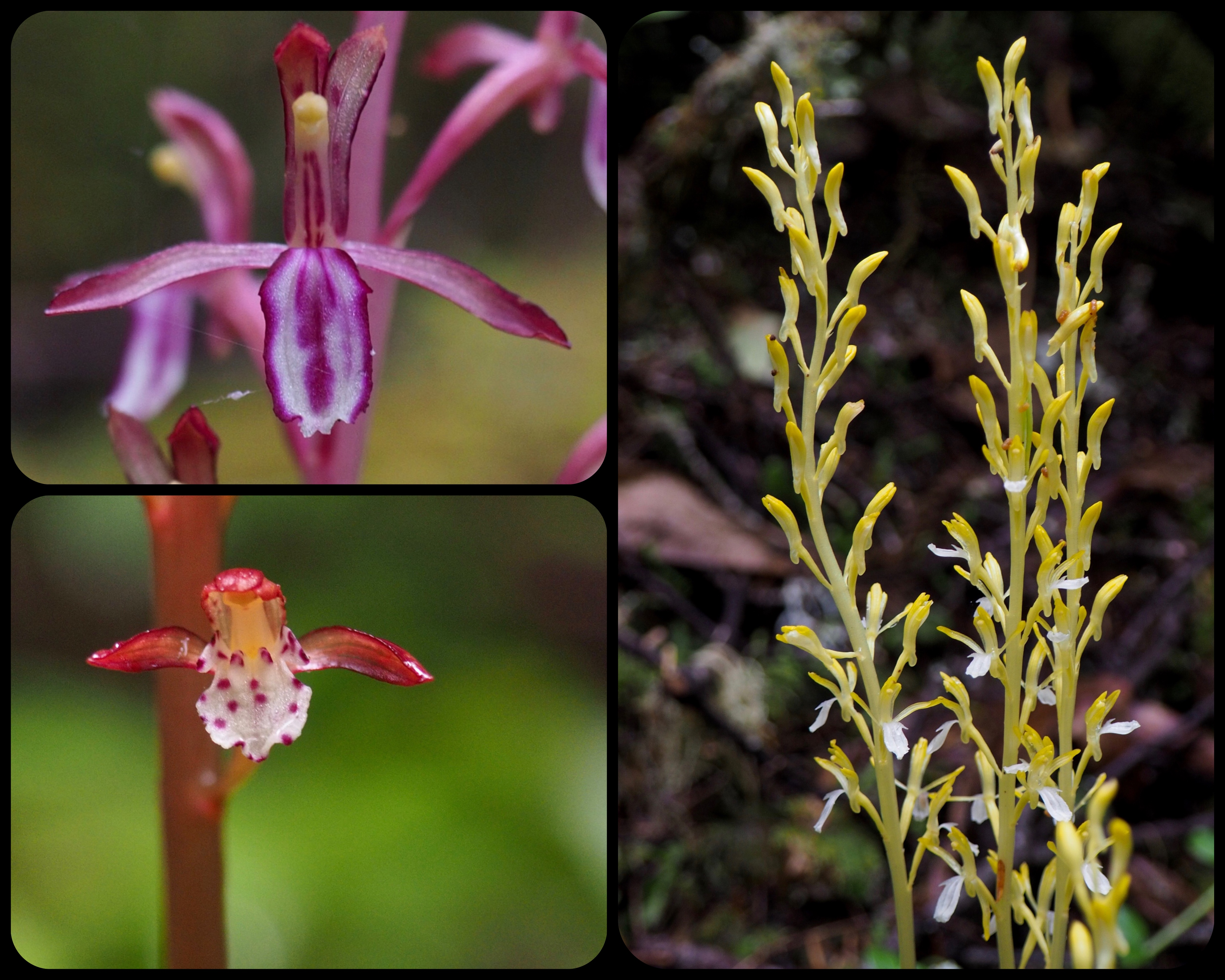 n the moist, riverside woodland, coralroot orchids flourish. In the upper left photo, a western coralroot (Corallorhiza mertensiana) displays its standard, magenta-streaked form, although significant color variation exists in this form and location. The uncommon clear yellow and white form of the western coralroot (C. mertensiana f. albolabia), shown in the right photo, also brightens the trailside. The spotted coralroot (C. maculata), shown in the lower left photo, is abundant as the trail climbs higher along the river. Upper Big Quilcene Trail, June 16, 2016.
