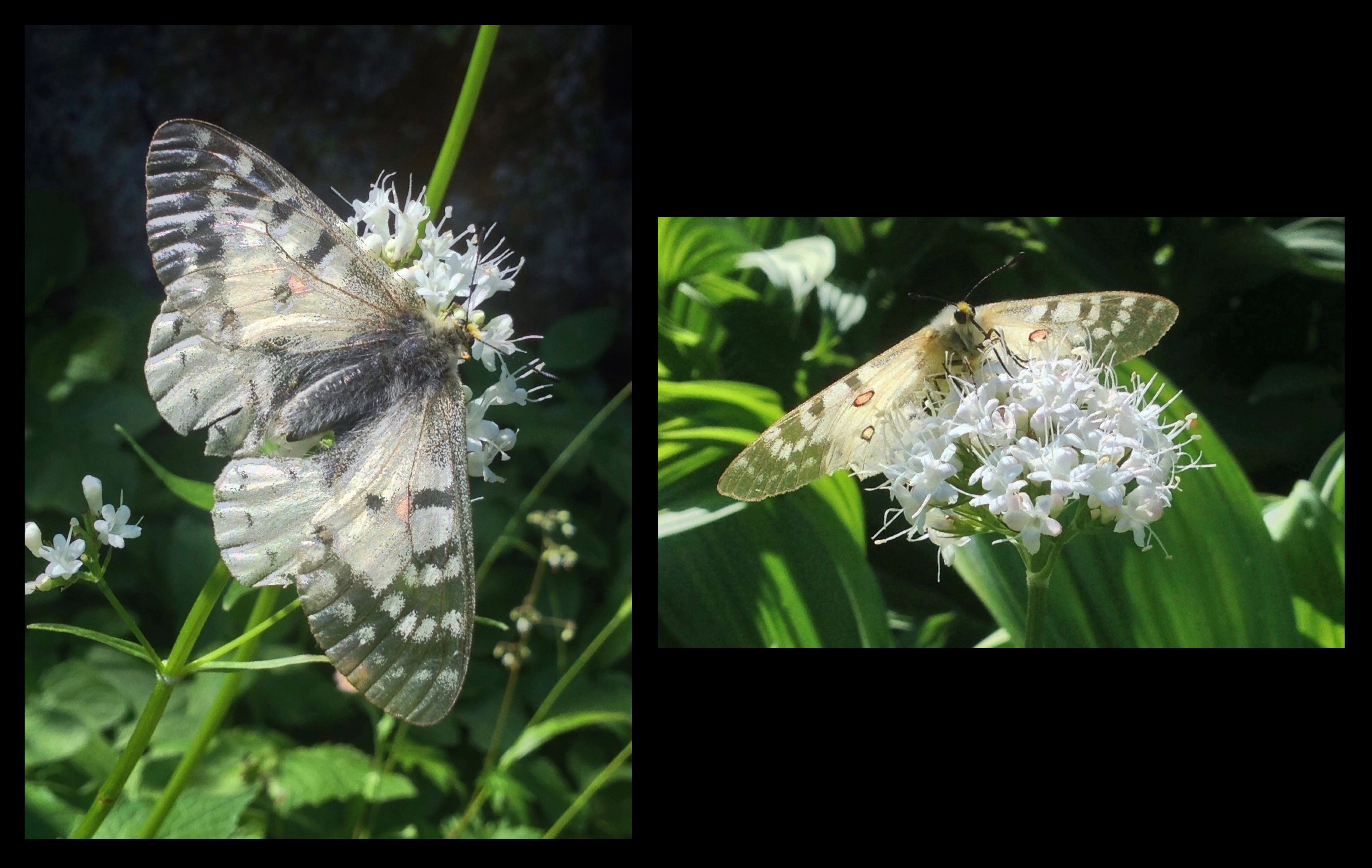 In beds of Sitka valerian (Valeriana sitchensis) along the lake shore, butterflies (here, likely clodius parnassians, Parnassius clodius, also known as clodius Apollos or Apollo parnassians) engage in the frenzied, even if brief, pursuit of nectar and mates. Denny Creek - Melakwa Lake Trail, August 03, 2014.