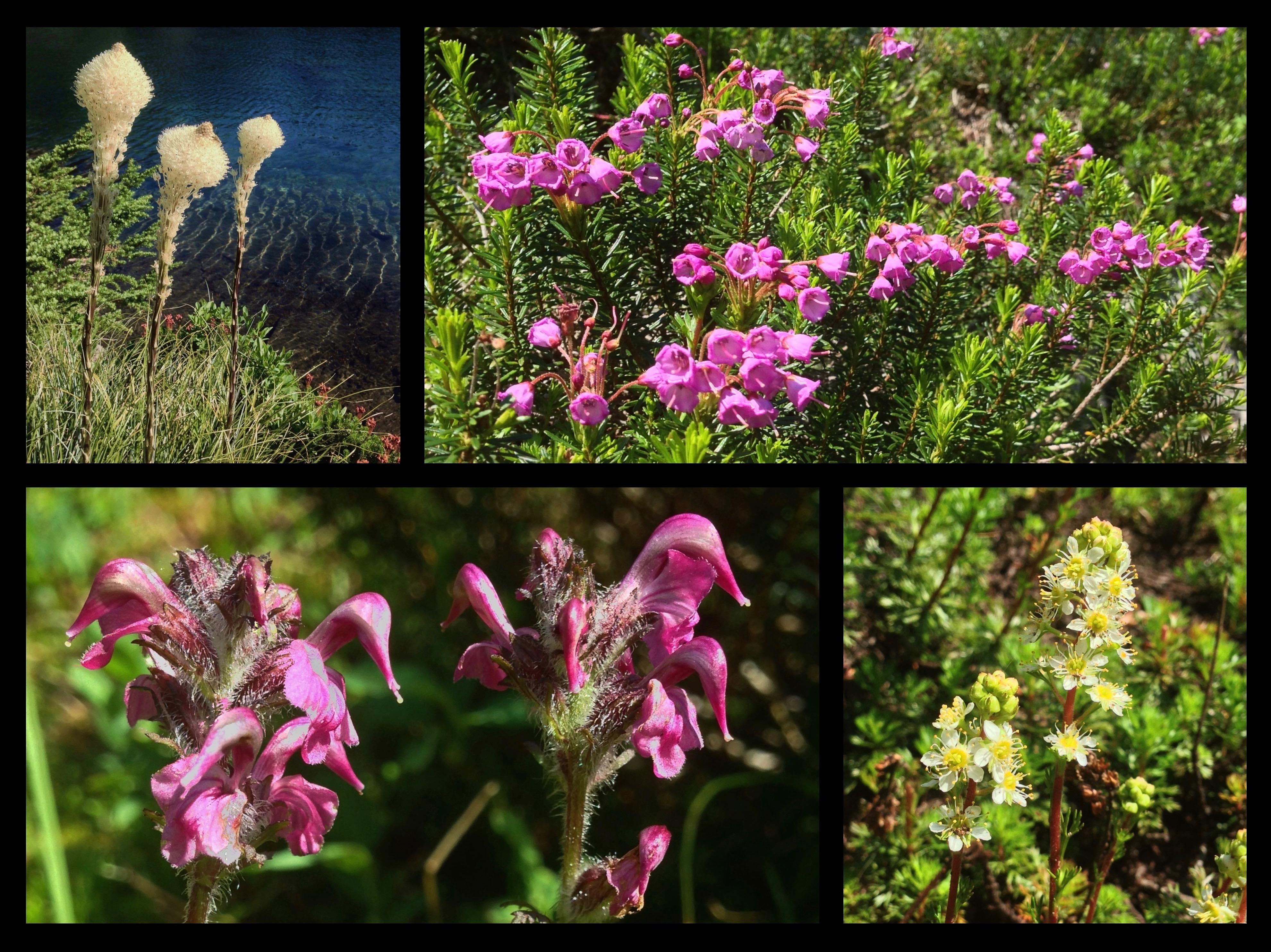 Other blooms bordering the lake include beargrass (Xerophyllum tenax) (top left), drifts of pink mountain-heath (Phyllodoce empetriformis) (top right), bird's beak lousewort (Pedicularis ornithorhyncha) (lower left), and partridgefoot (Luetkea pectinata) (lower right). Denny Creek - Melakwa Lake Trail, July 21, 2013 and August 03, 2014.