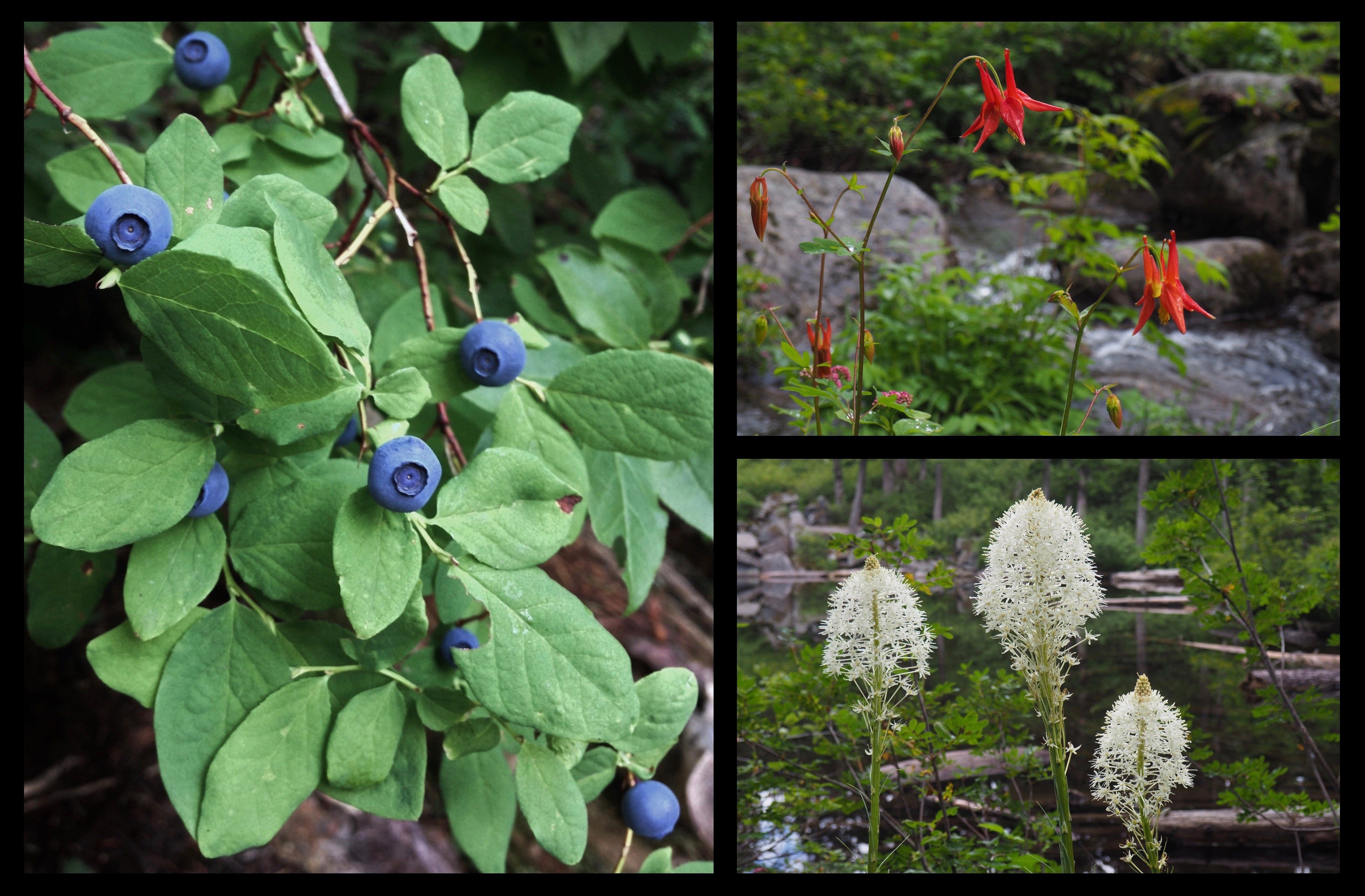 Along Mason Lake's banks, look for luscious blueberries and huckleberries (here, the tart-tasting, upward-facing berries of Vaccinium ovalifolium, called both the oval-leaved blueberry and oval-leaved huckleberry) (left); western, or, Sitka columbines (Aquilegia formosa) dangling over Mason Creek's newborn stream (upper right); and bottlebrush blooms of beargrass (Xerophyllum tenax) lining the shore (lower right). Ira Spring Trail, August 18, 2013 and July 09, 2016.