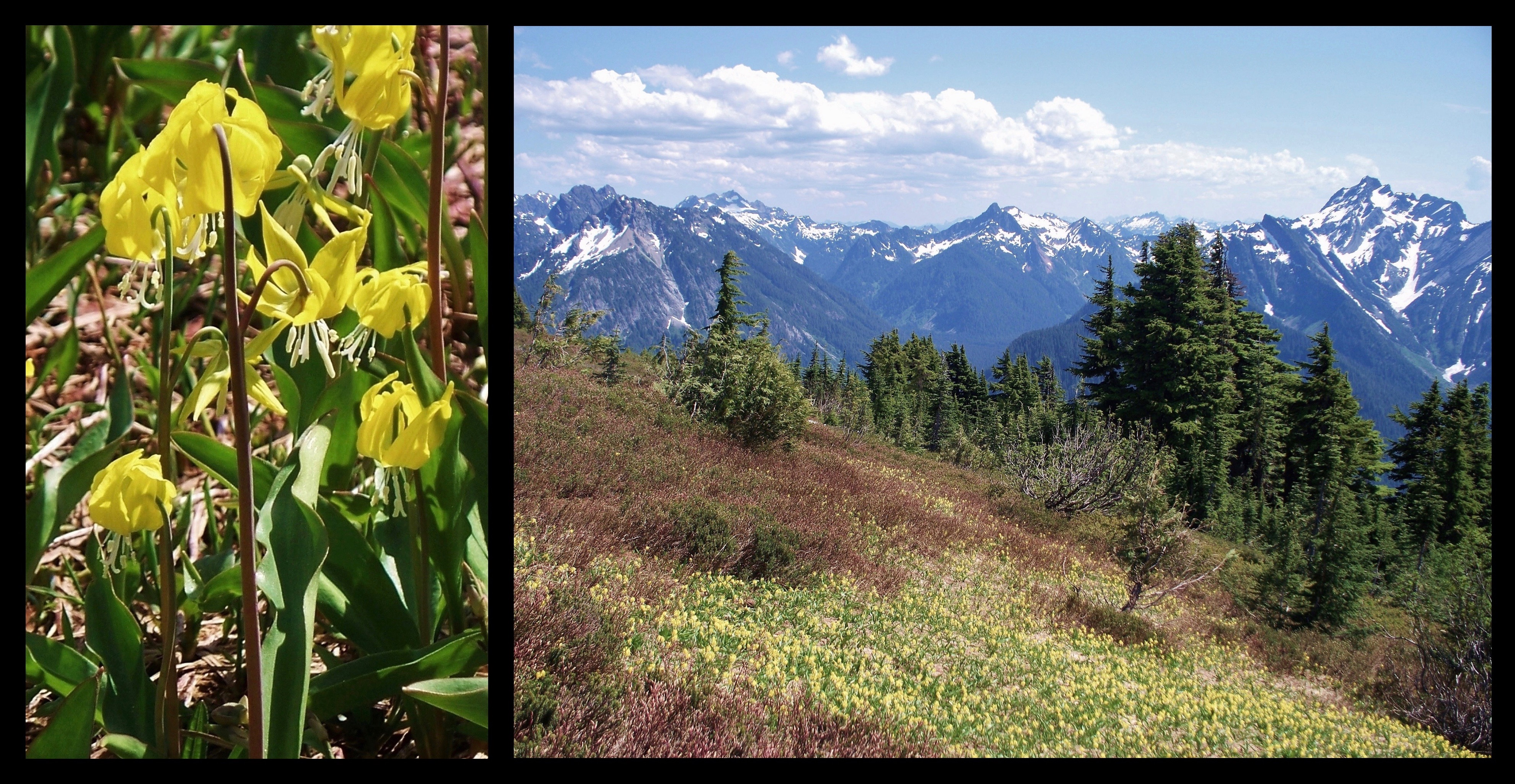 During the alpine spring, swathes of yellow avalanche-lilies (Erythronium grandiflorum) carpet the mountainside. Here, the Monte Cristos lie beyond the flower-clad meadow, including Silver Tip Peak in the center and Lewis and Del Campo peaks on the right. Mount Dickerman Trail, July 11, 2009.