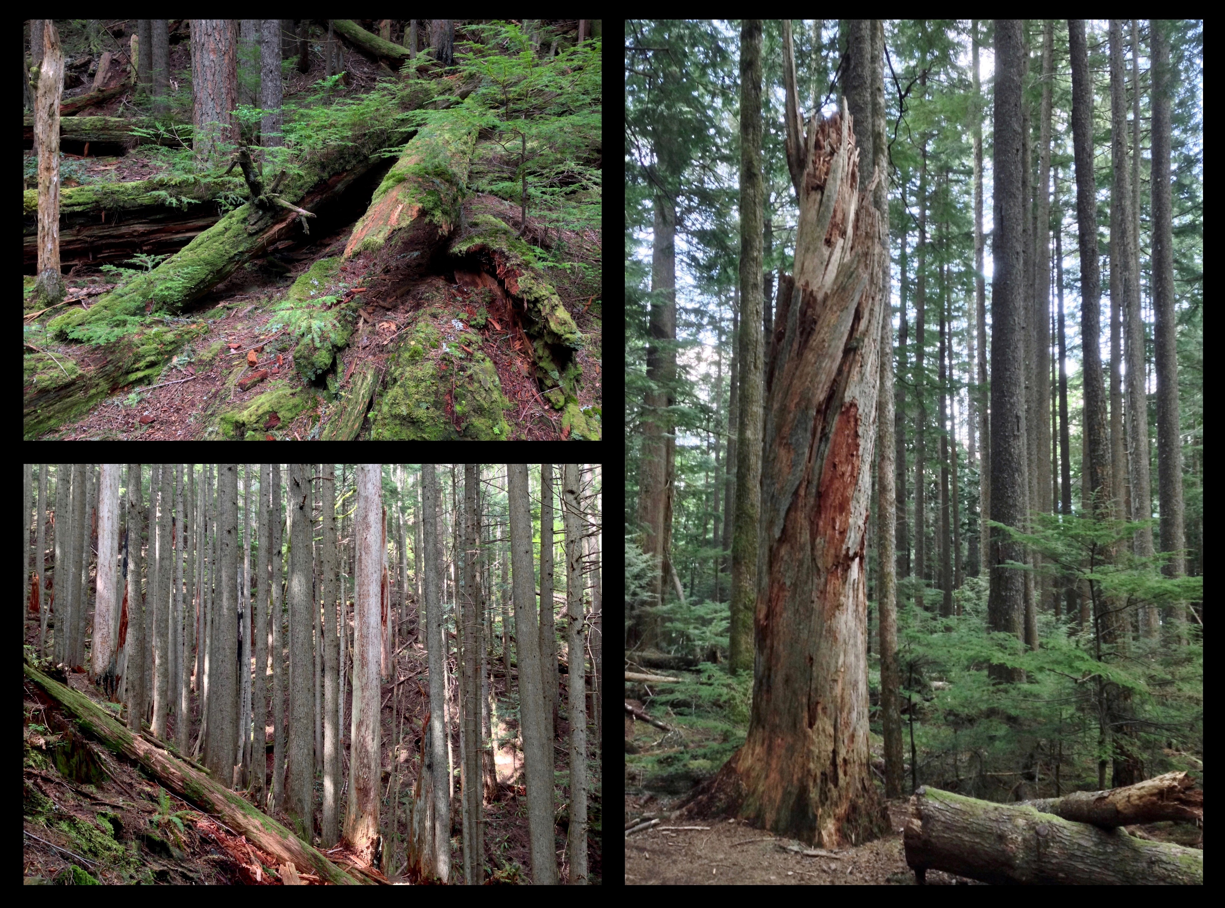 Just after its upper junction with the Talus Loop, the main trail reaches Snag Flat, where, in 1910, an entrenched forest fire smoldered for weeks. The conflagration's damage is still evident in the dead trees standing and, mostly, strewn across this relatively level section of the forest floor (hence the name) and in the charred bark blackening the survivors. Beyond Snag Flat, the lush forest gives way to the stunted, less diverse woodland of higher elevation. Mount Si Trail, May 24, 2014.