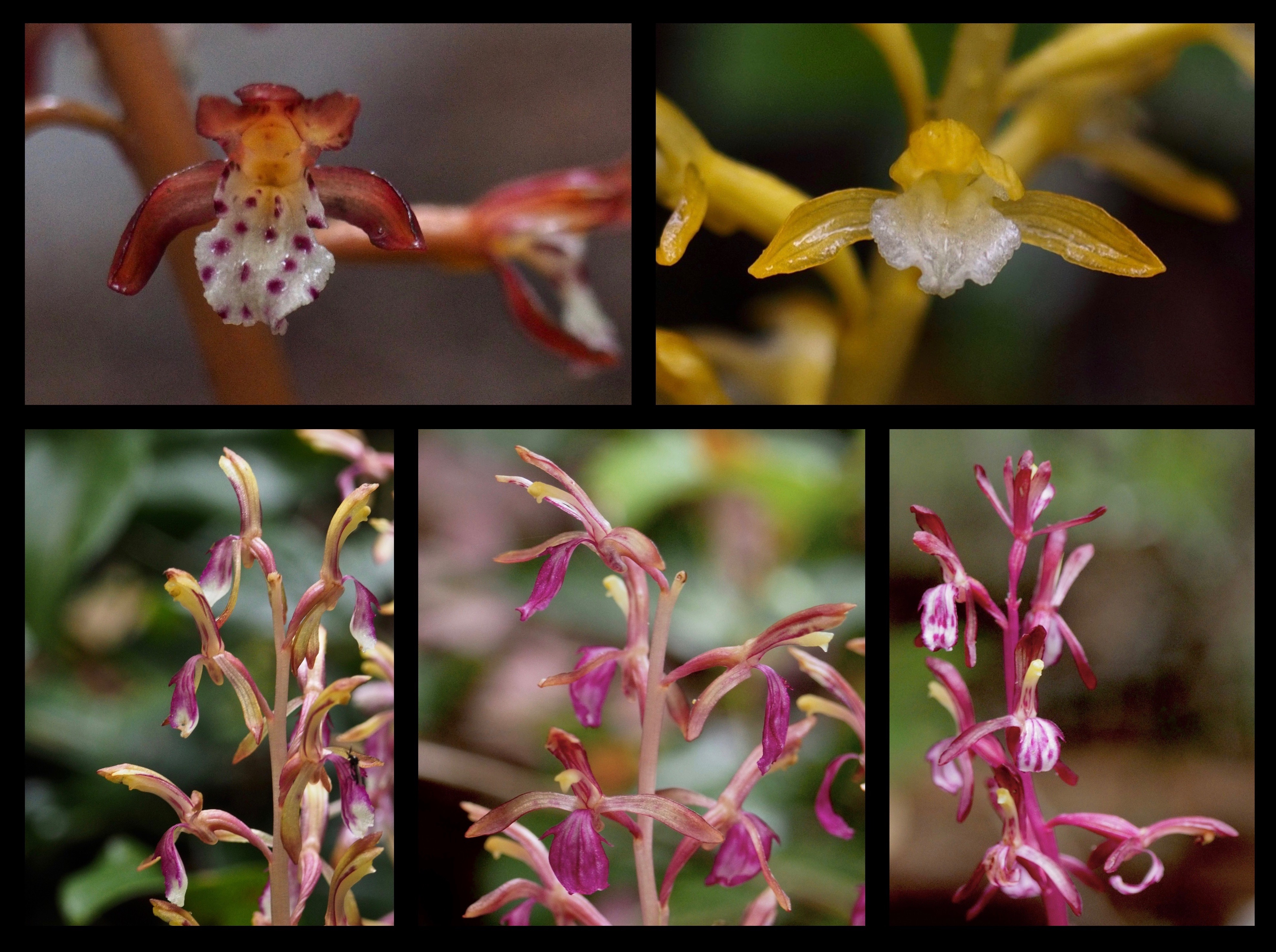Coralroot orchids (Corallorhiza sp.) similarly lack leaves and chlorophyll and obtain nutrients from fungi in the soil by means of their knobby, namesake underground stems. Western spotted coralroots (C. maculata var. occidentalis) occur along the trail in both their standard, coppery form (top left) and their uncommon -- and unspotted -- yellow and white variation (C. maculata var. occidentalis fma. immaculata) (top right). The Pacific, or, western coralroot orchid (C. mertensiana) (bottom) is also plentiful in a range of color variations, from minimally to almost fully magenta. Mount Zion Trail, June 15 and 19, 2016.