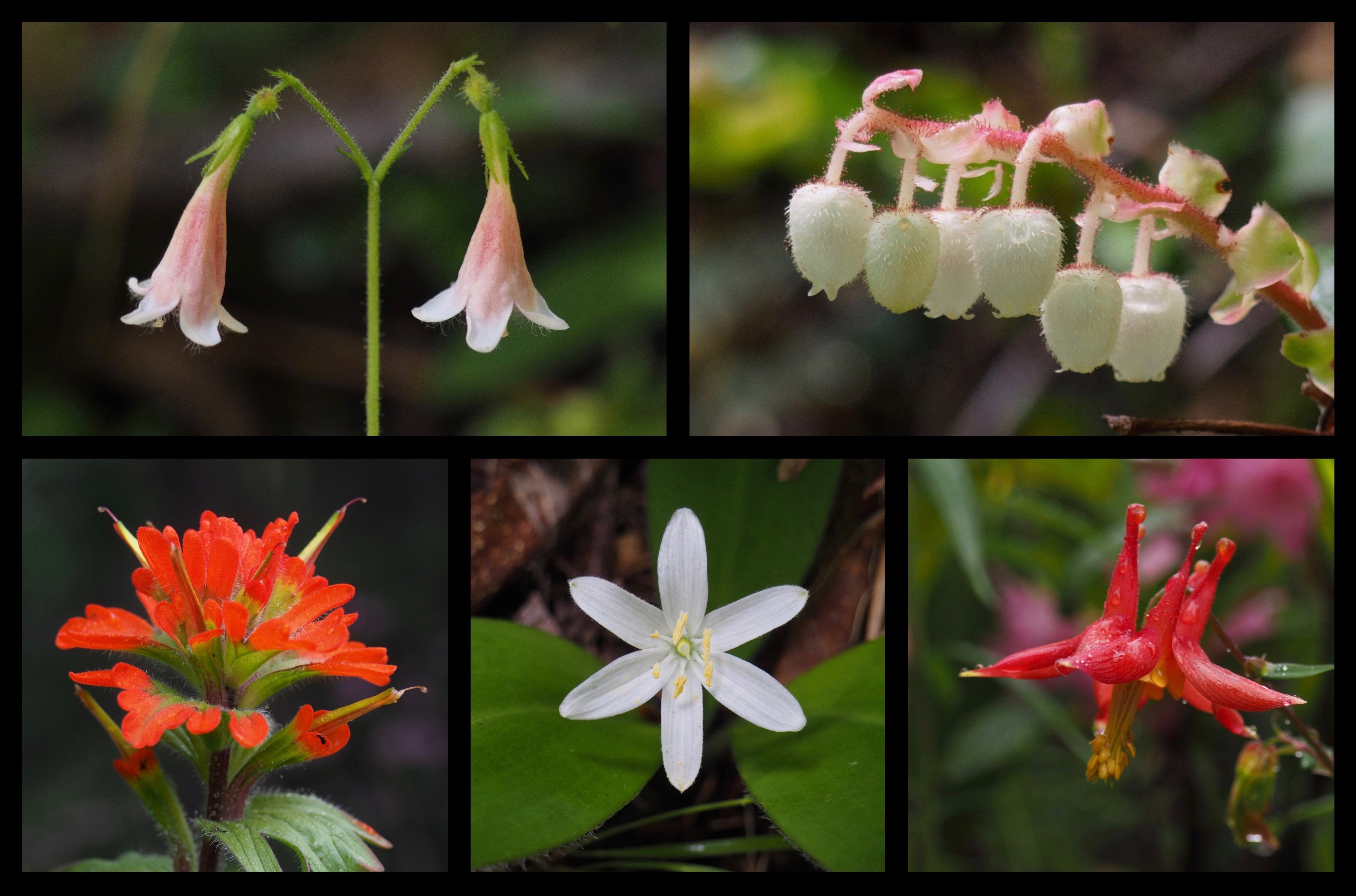 Many other wildflowers brighten the spring woodland, including, clockwise from top left, American twinflowers (Linnaea borealis), salal (Gaultheria shallon), western, or, Sitka columbines (Aquilegia formosa), queen's cups (Clintonia uniflora), and harsh paintbrushes (Castilleja hispida). Mount Zion Trail, June 15 and 19, 2016.