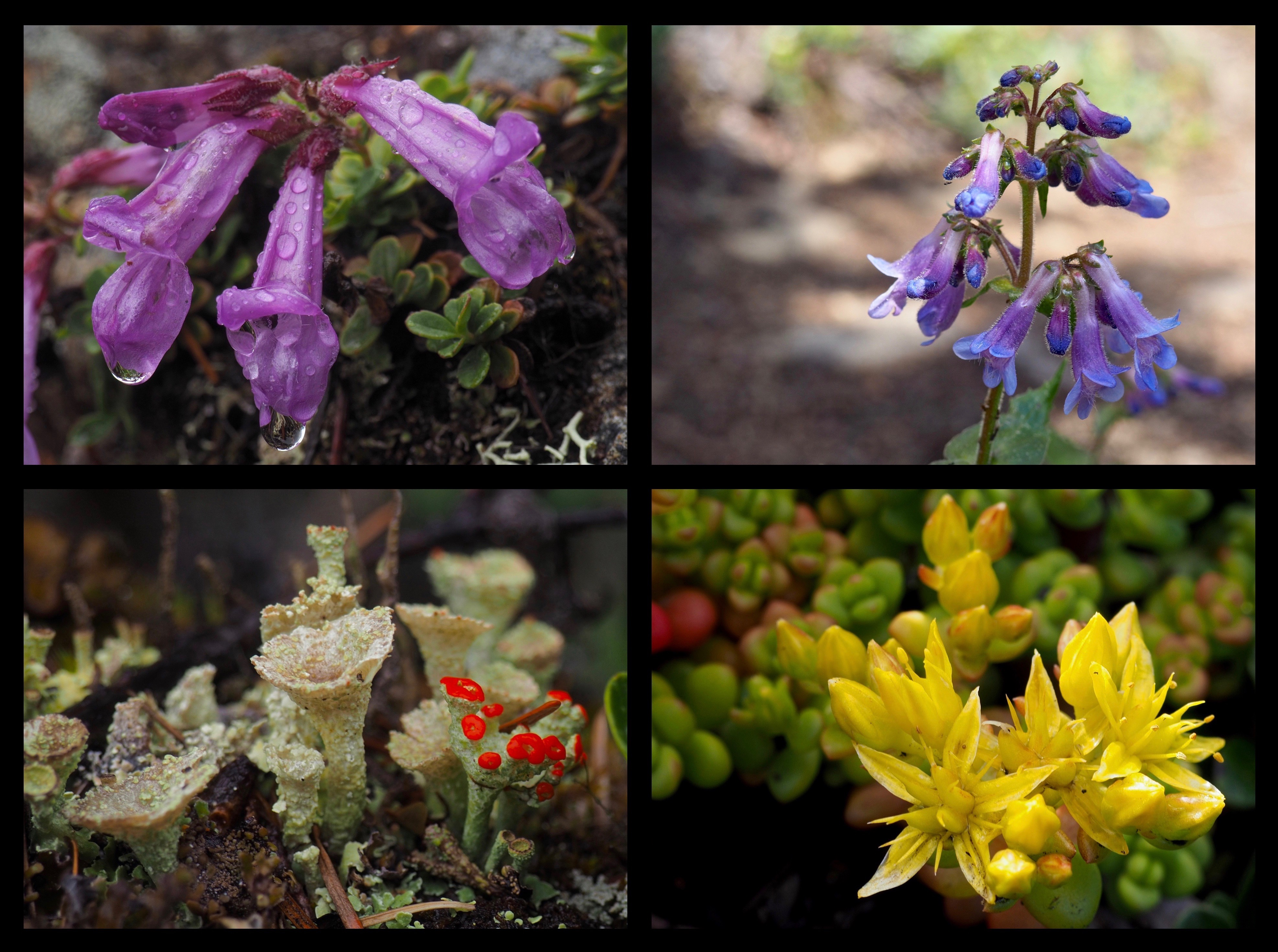 "Even along the ridgetop, diminutive blooms cling to the stony outcrops, including Davidson's beardtongues (Penstemon davidsonii) (top left), littleflower, or, pincushion penstemons (Penstemon procerus) (top right), spreading stonecrop (Sedum divergens) (lower right), and various lichens (here, likely a Cladonia species, which, although they do not ""bloom,"" produce sometimes colorful ""fruiting bodies"" that bear the spores of their next generation) (lower left). Mount Zion Trail, June 15 and 19, 2016."