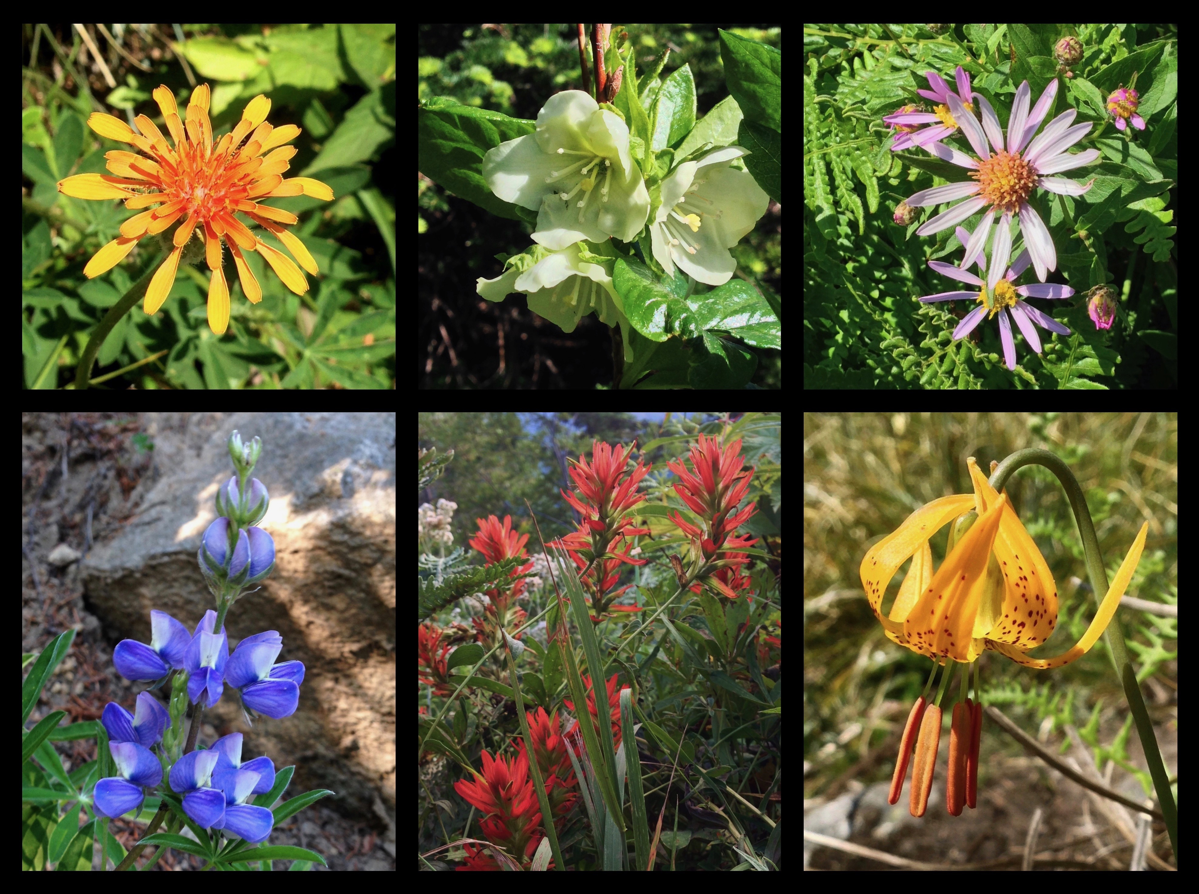 Bandera Mountain's early summer wildflower display dazzles with a palette of blooms including, clockwise from top left, orange agoseris (Agoseris aurantiaca), white rhododendron (Rhododendron albiflorum), Cascade aster (Eucephalus ledophyllus), Columbia lily (Lilium columbianum), scarlet paintbrush (Castilleja miniata), and lupine (Lupinus sp.). Bandera Mountain Trail, August 18, 2013 and July 09, 2014.