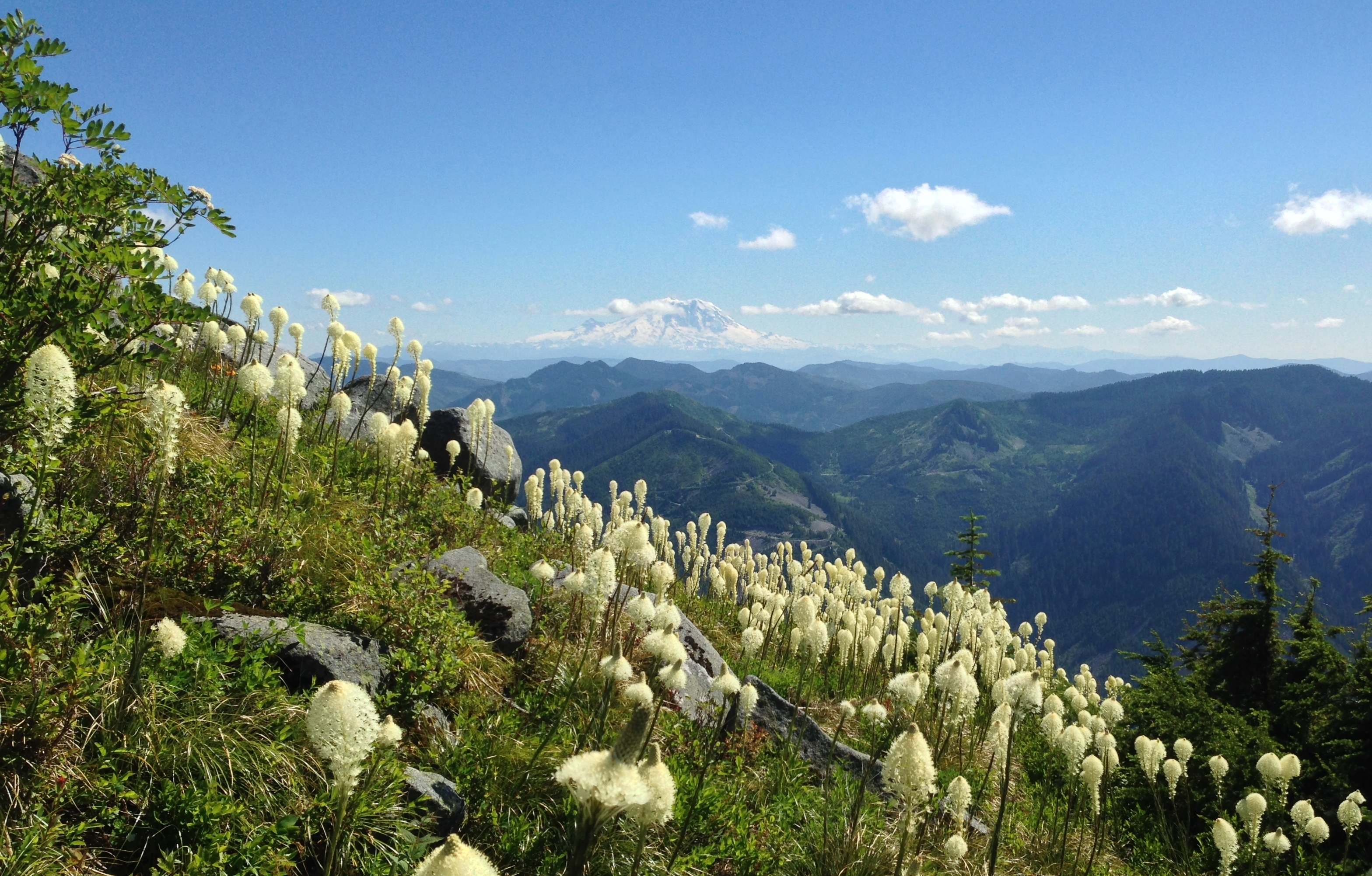 Bandera Mountain's summer blanket of beargrass (Xerophyllum tenax) blooms mimics the snowy slopes of the distant Mt. Rainier. Bandera Mountain Trail, July 09, 2014.