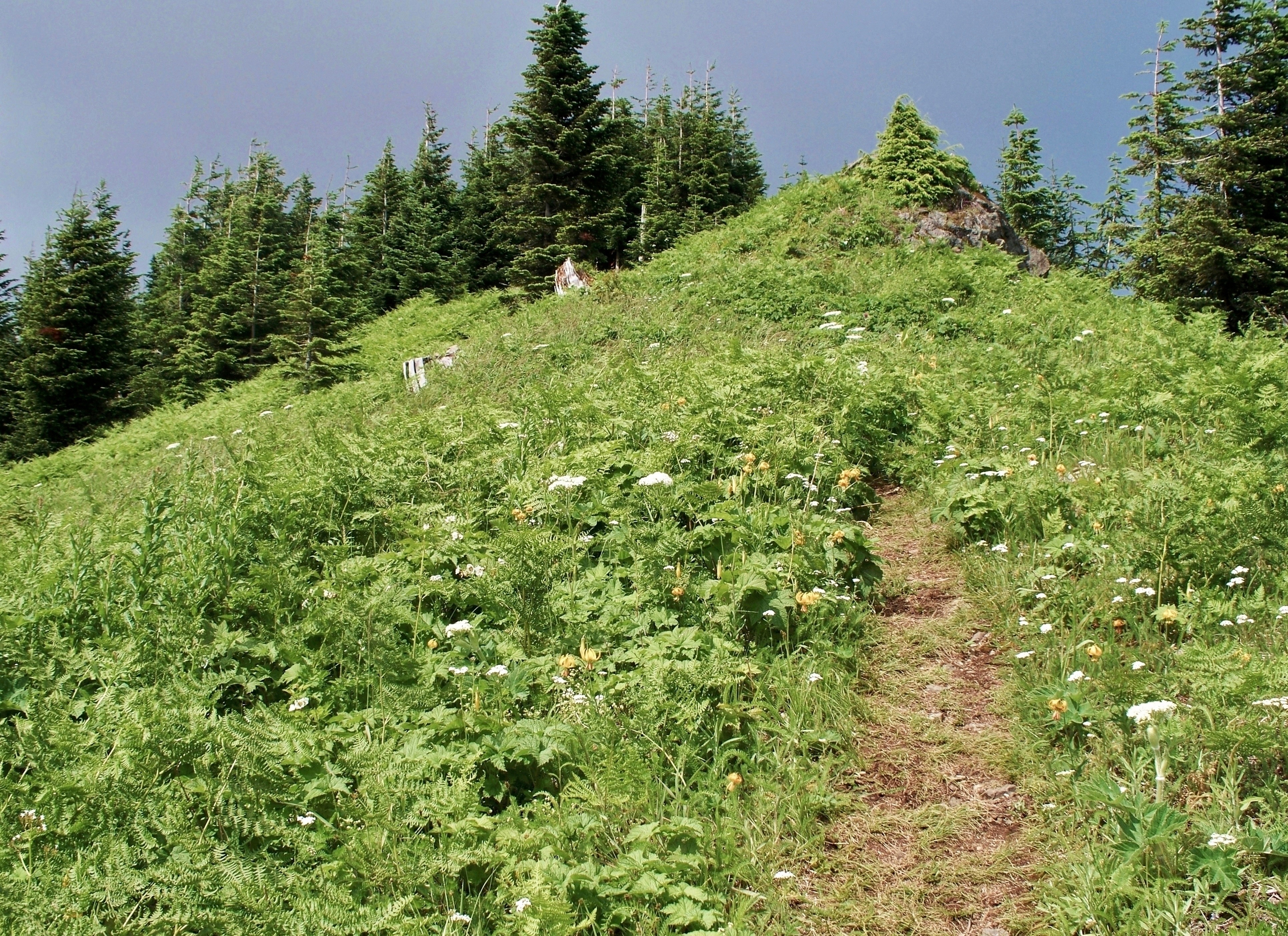 At the trail's final switchback, the woodland gives way to a burgeoning, steeply pitched meadow. Mount Washington Trail, July 09, 2009.