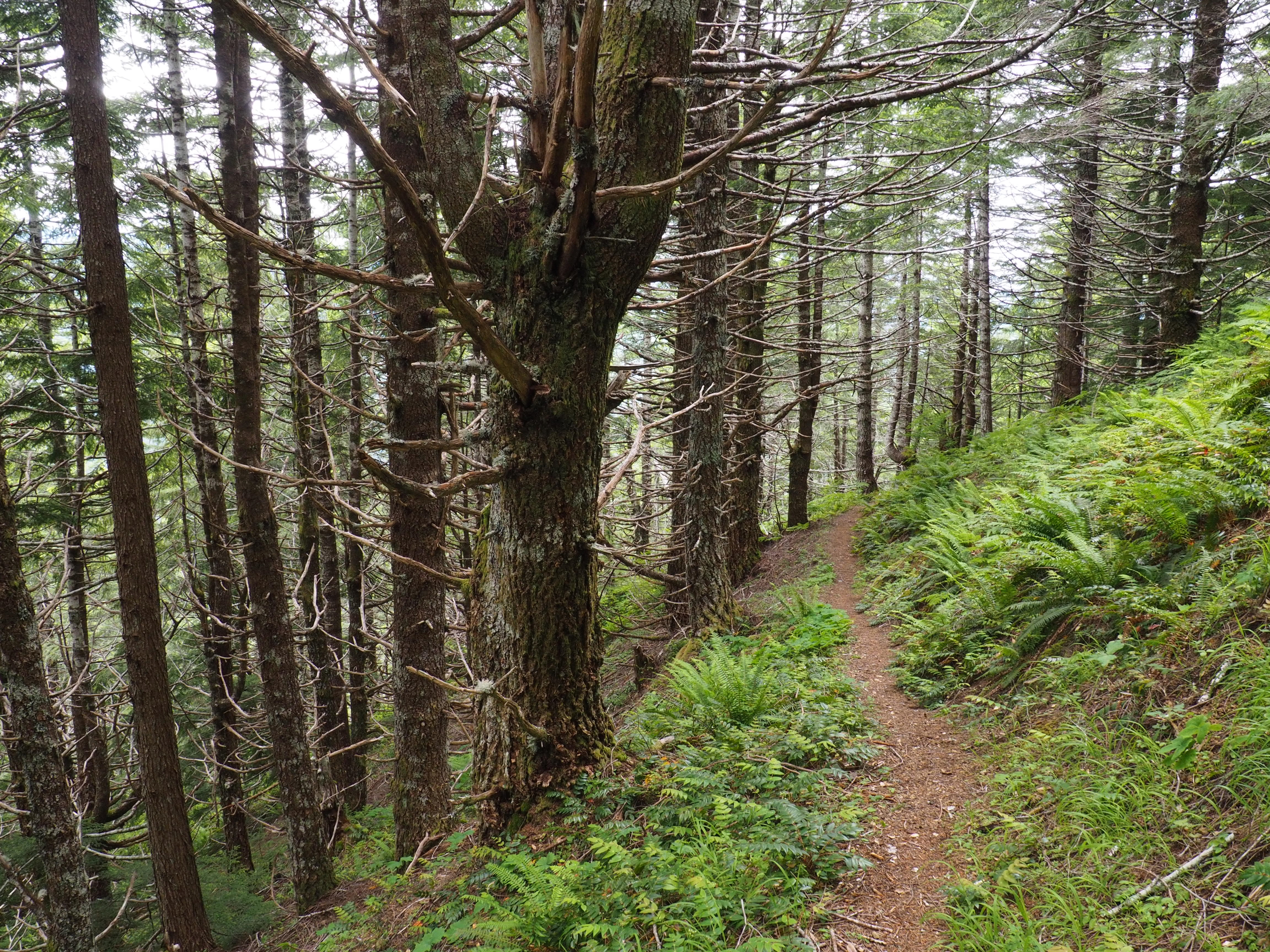 In contrast with their smooth, lower elevation neighbors, conifers along the ridgetop bristle with branch stubs like so many fishbones on end. Kloshe Nanitch Trail, June 17, 2016.