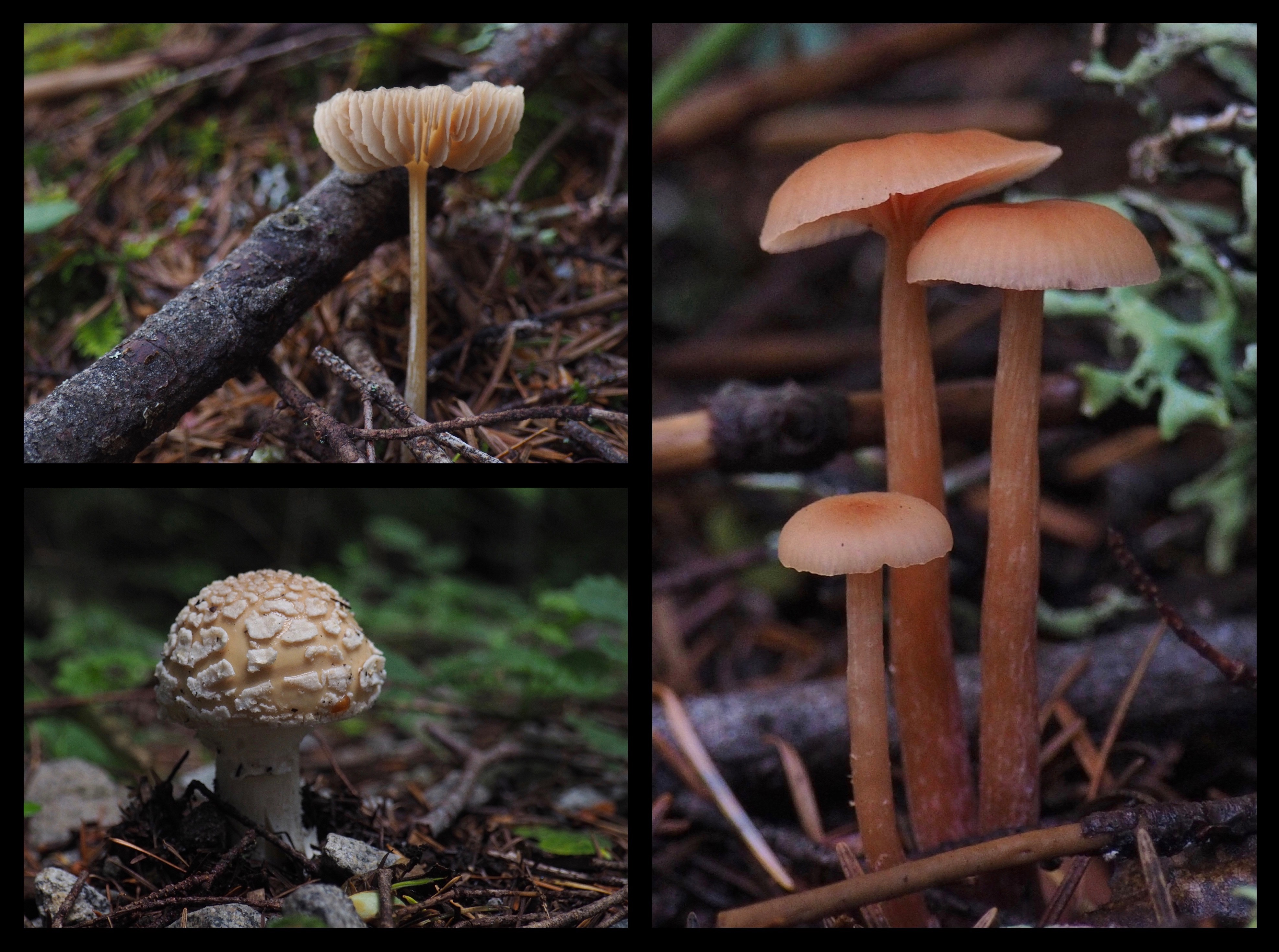Watch for whimsically capped mushrooms posing here and there amongst the lowland forest litter. Ira Spring Trail, July 09, 2016.