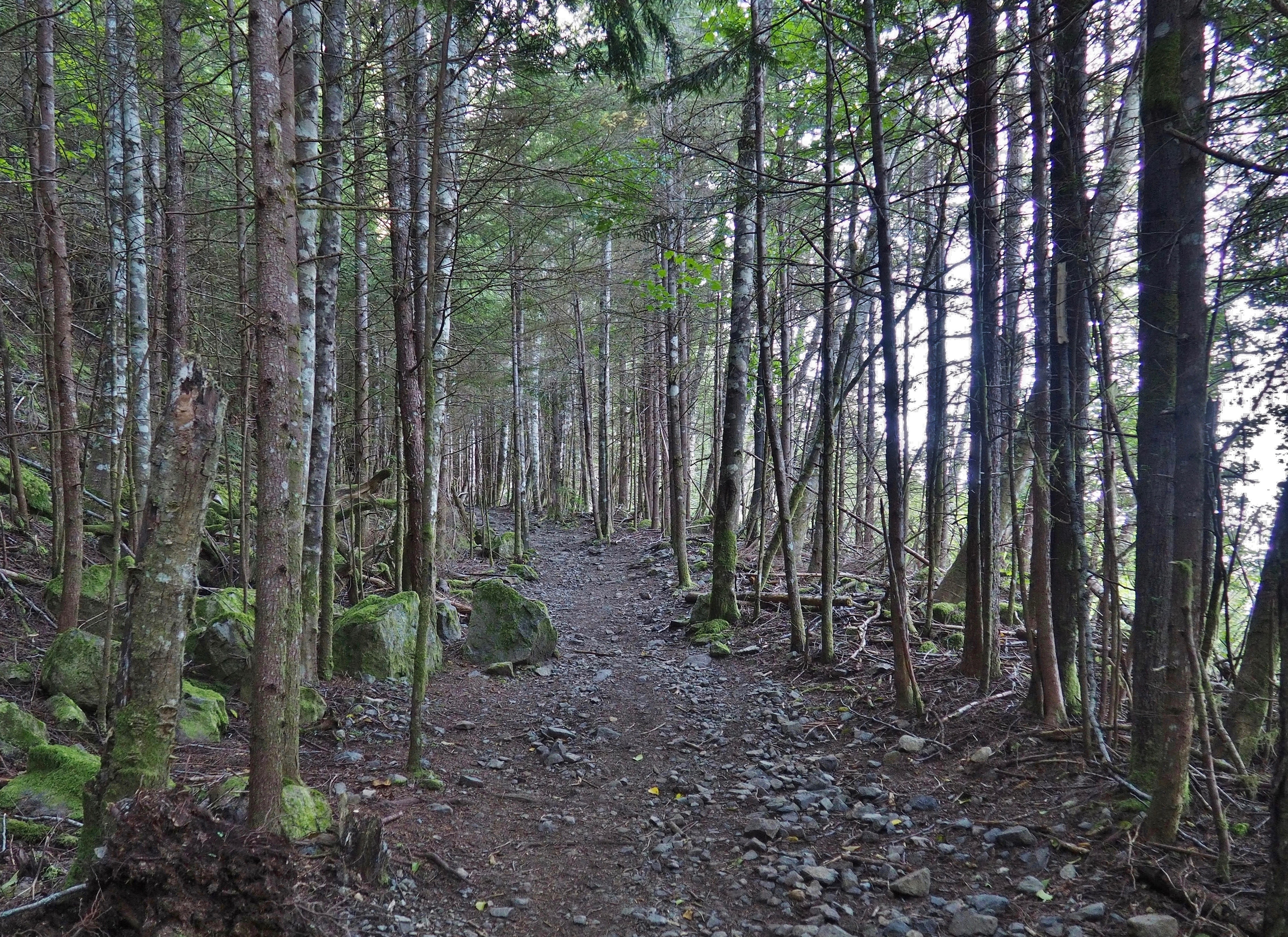As the trail climbs beyond the leafy lowland, spindly young conifer forest fences much of its stony ascent. Mount Washington Trail, July 26, 2016.