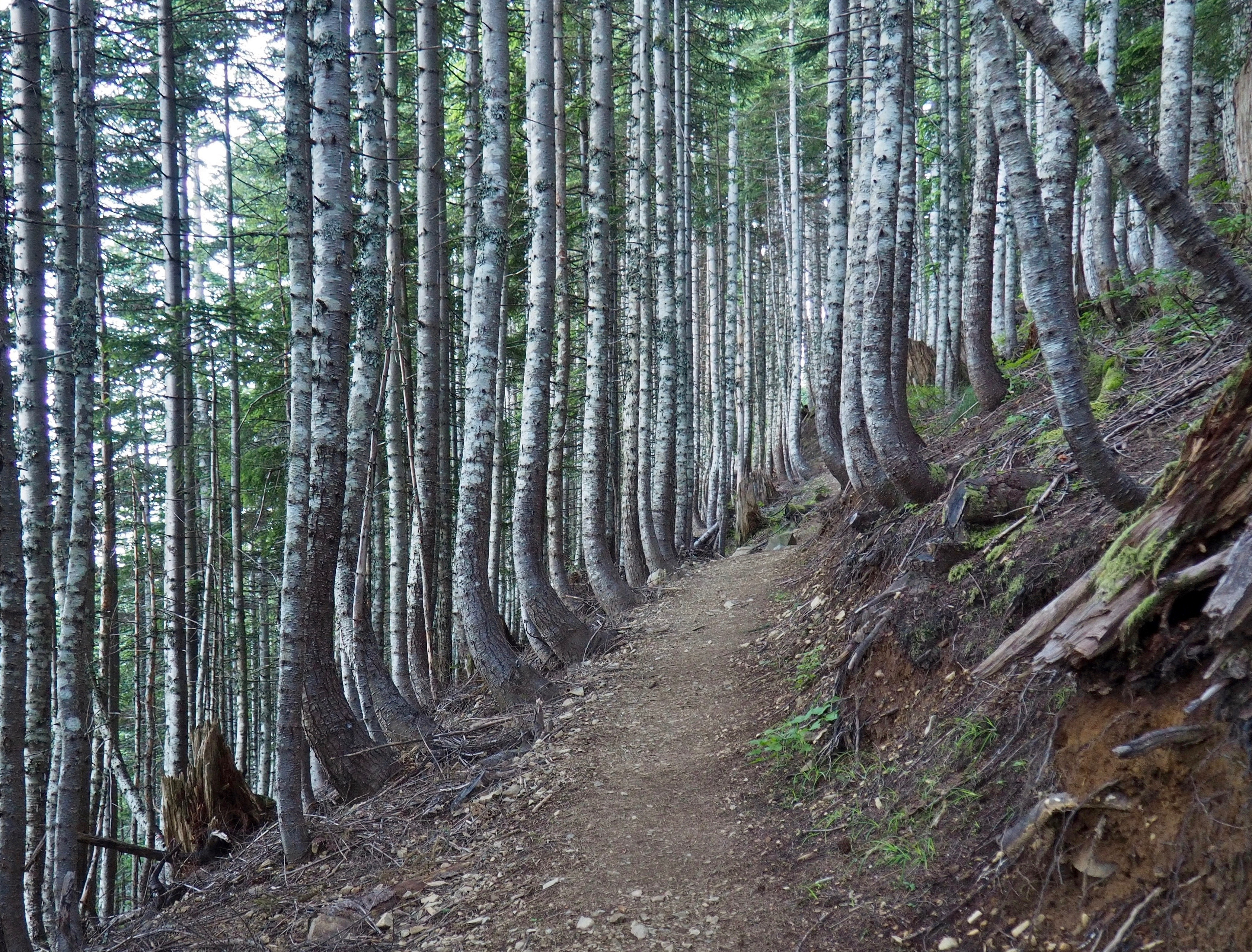 Just below the summit, forest again encloses the trail and slender tree trunks pinstripe the surrounding mountainside. Mount Washington Trail, July 26, 2016.