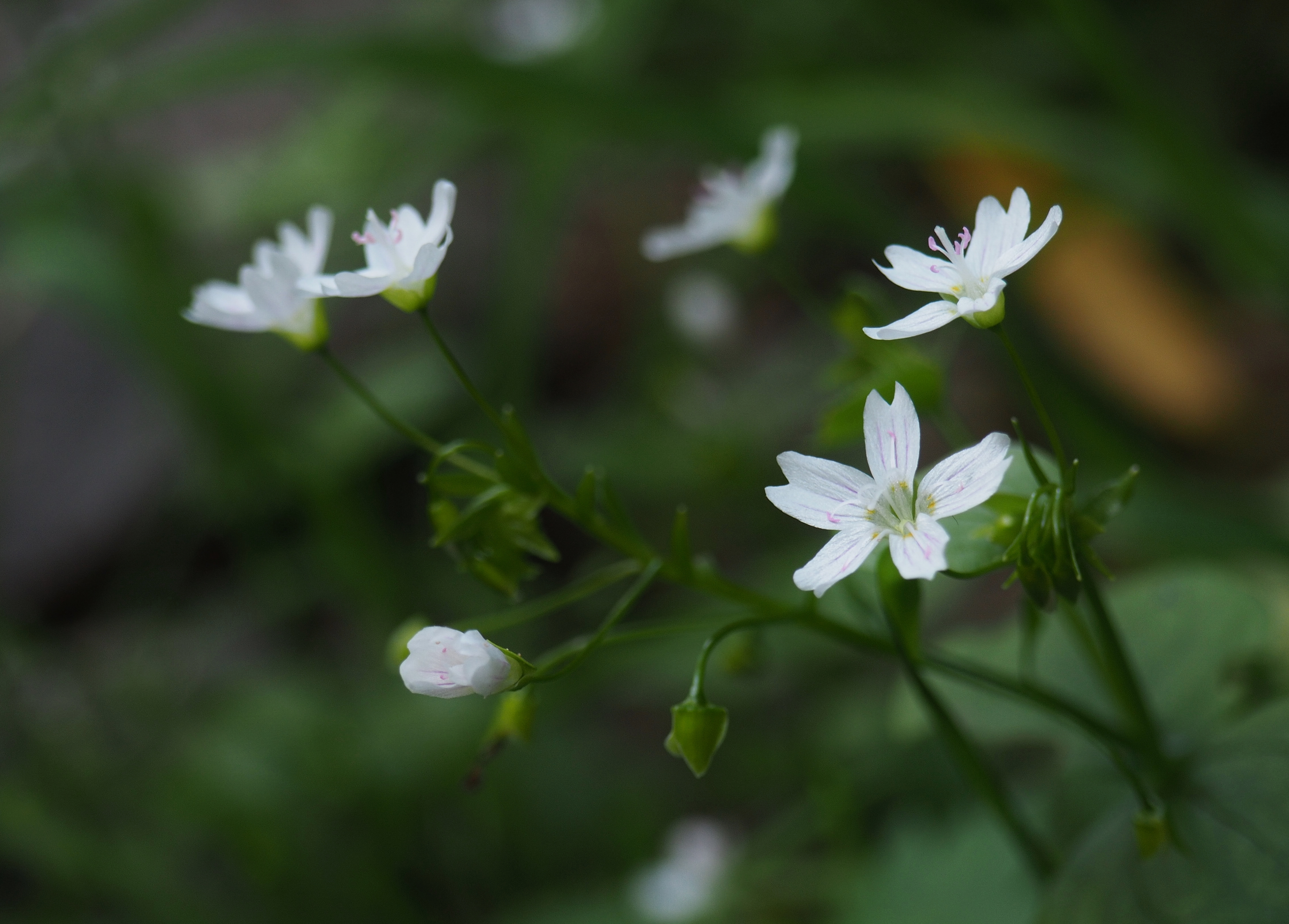 Throughout the shadowy woodland where little else blooms, starry-eyed Siberian springbeauty (Claytonia sibrica) brightens the forest gloom. Mount Washington Trail, July 30, 2016.