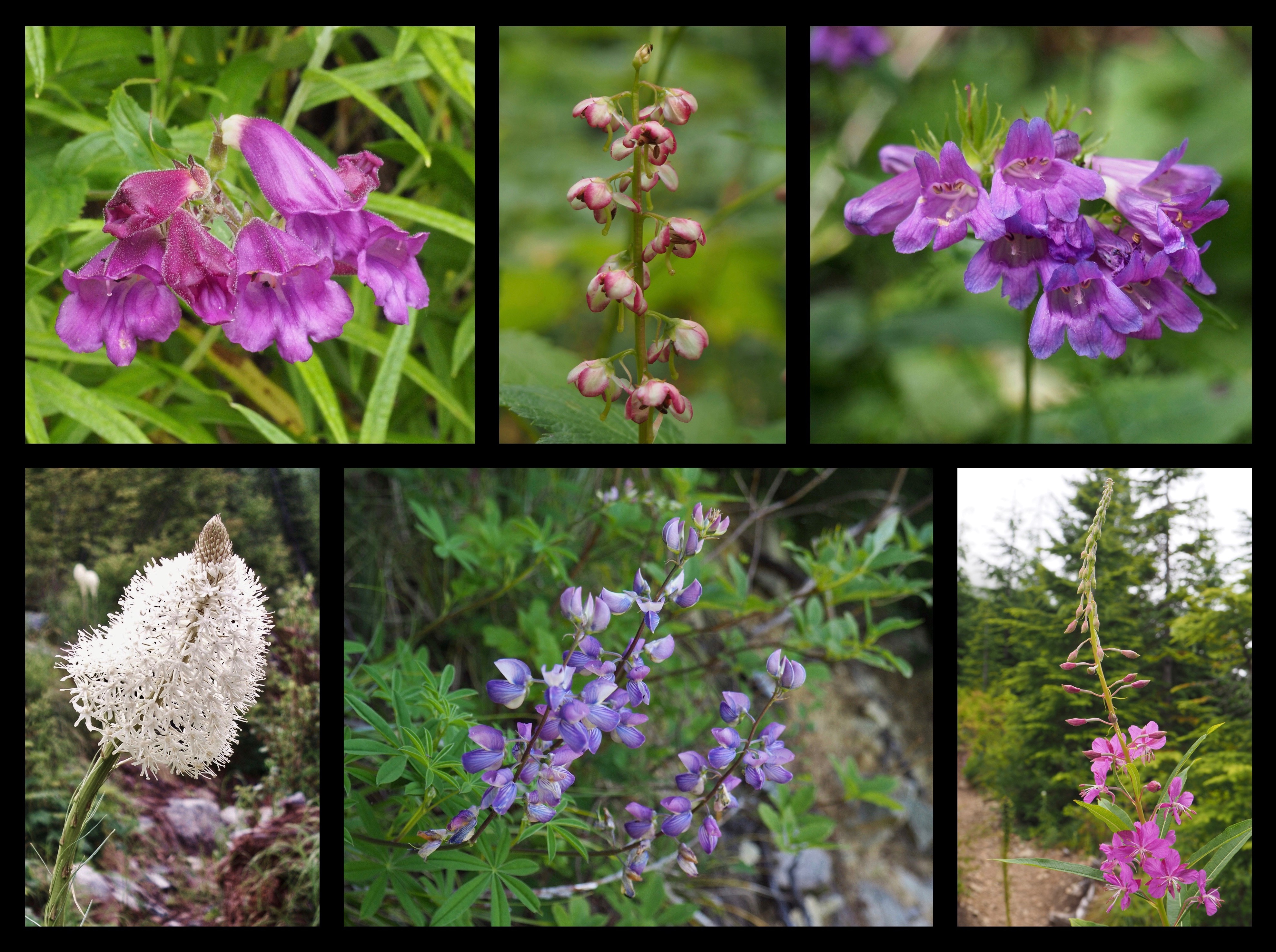 As the trail climbs, a few summer blooms appear where the stunted forest opens, including, clockwise from top left, woodland penstemon, or, woodland beardtongues (Nothochelone nemorosa); liverleaf wintergreen (Pyrola asarifolia); Cascade beardtongues (Penstemon serrulatus); fireweed (Chamerion angustifolium); lupine (Lupinus sp.); and beargrass (Xerophyllum tenax). Mount Washington Trail, July 09, 2009 and July 30, 2016.