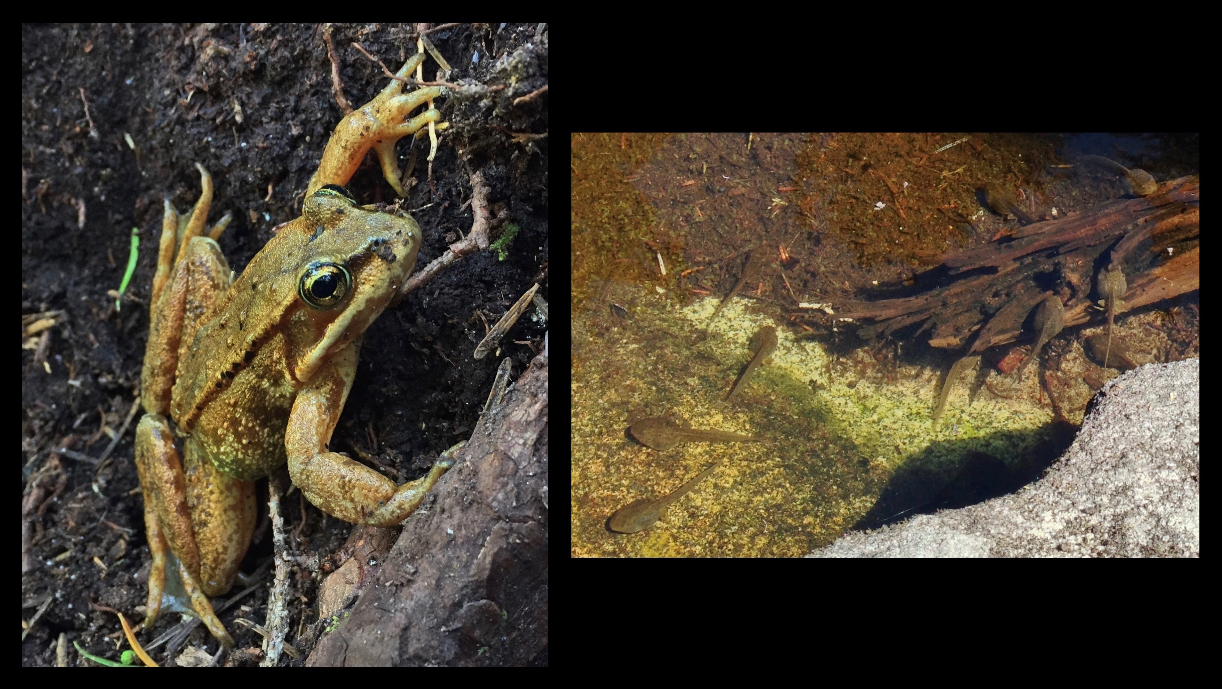 Frogs, here likely a Cascades frog (Rana cascadae), are abundant in the Alpine Lakes Wilderness, fattening lazily as tadpoles in its warm summer bogs, ponds, and shallow lakes. Ira Spring Trail, July 02, 2016 and August 10, 2014.