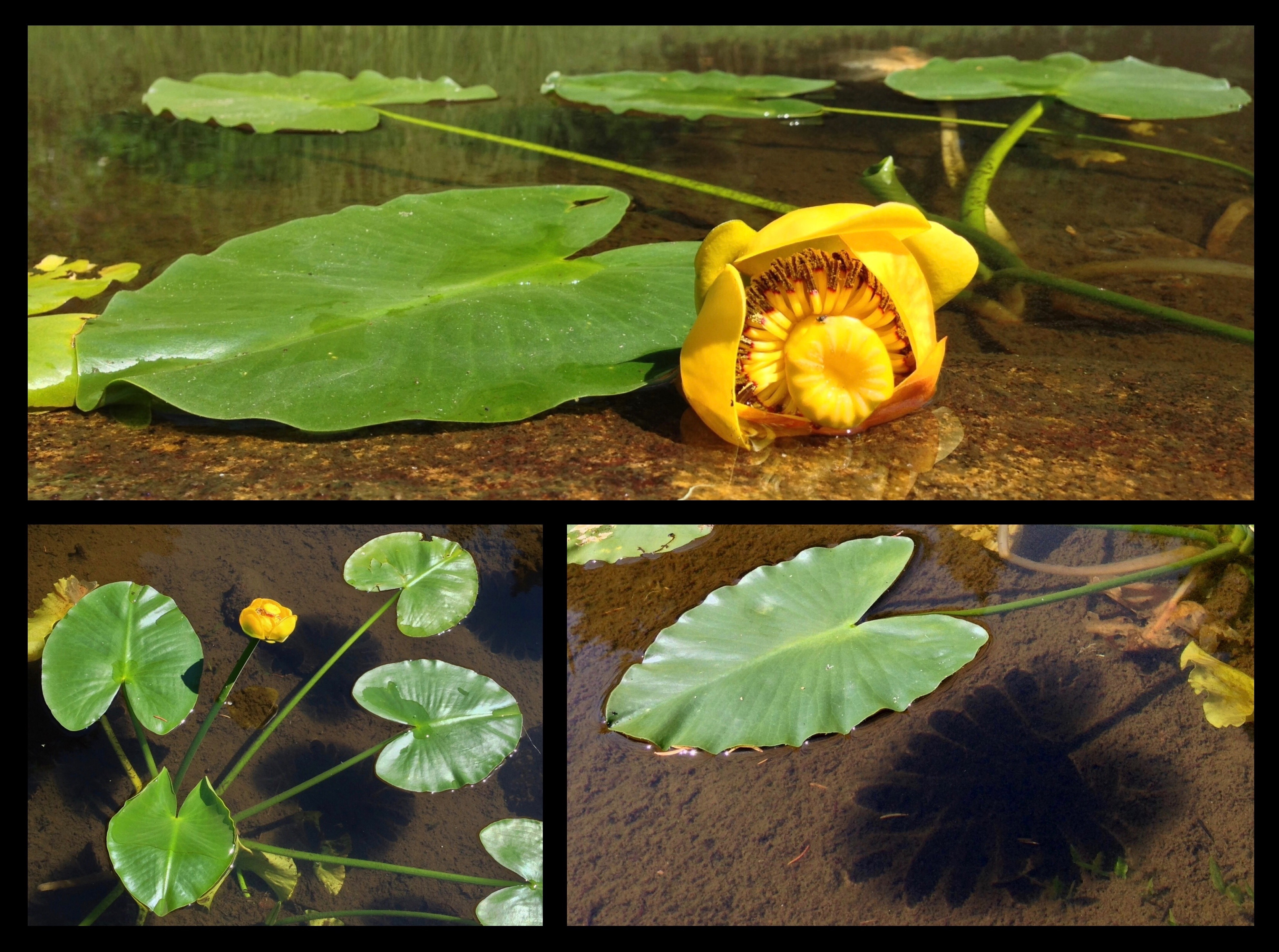 Spatterdock, or, yellow pond lilies (Nuphar polysepala) loft complex, squarish blooms above hovering leaves that cast X-ray-like shadows on the soft earth beneath the water's surface. Ira Spring Trail, August 10, 2014.