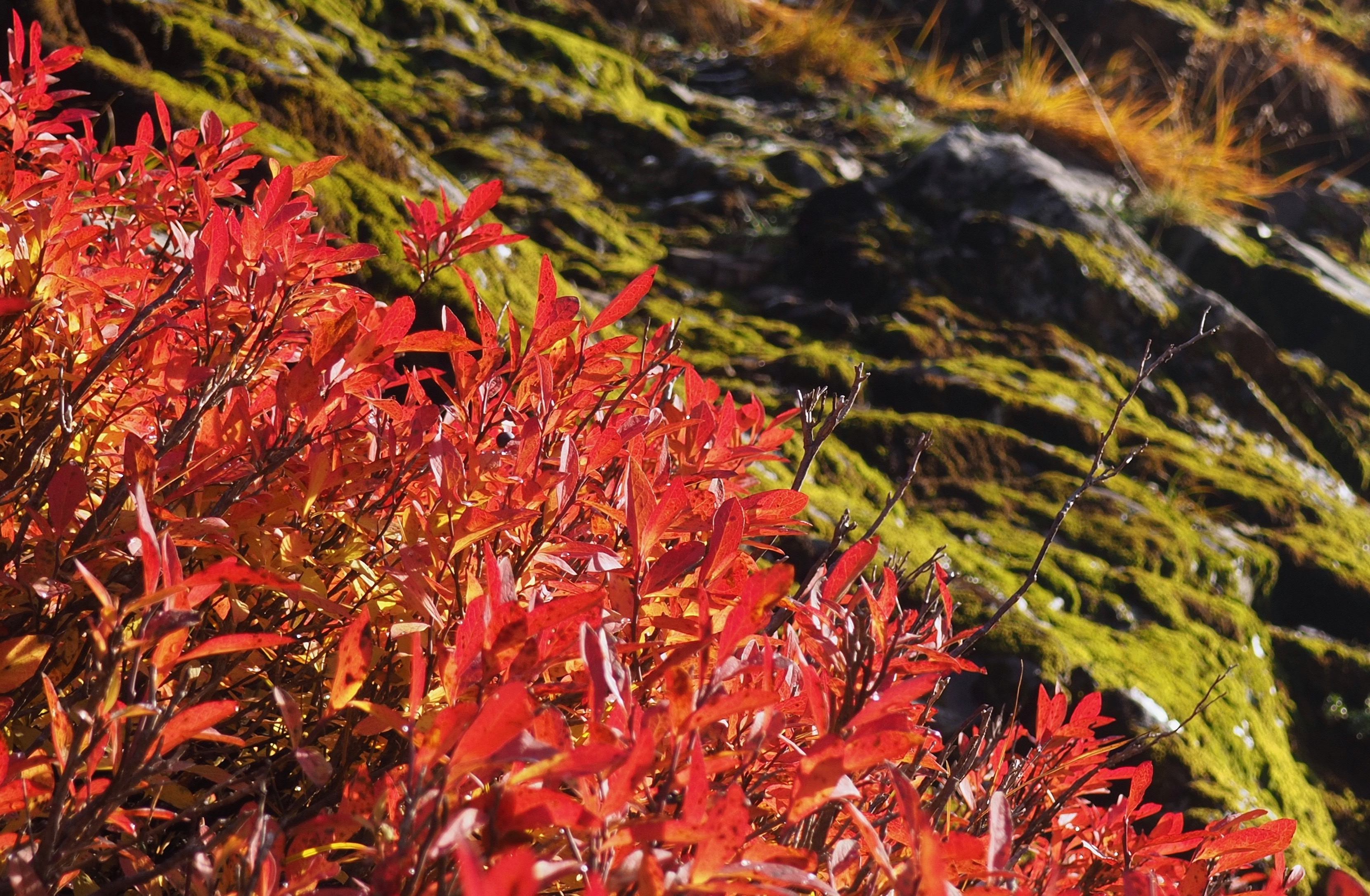 Near Red Pass, blueberries' (Vaccinium sp.) vibrant autumn leaves contrast with the trailside's mossy mountain folds. Commonwealth Basin – Red Pass Trail, October 22, 2016.