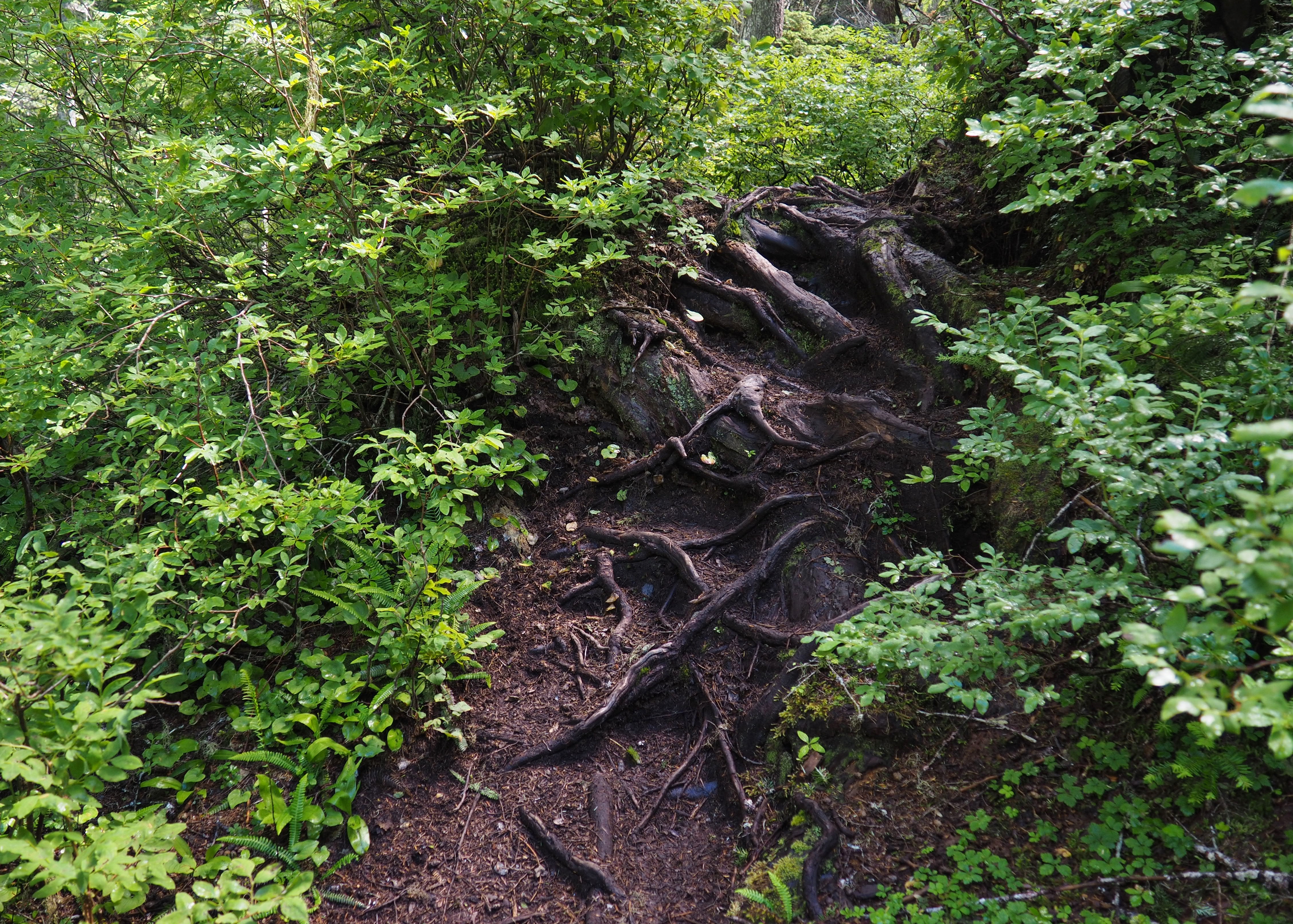 Often slick from the area's abundant rainfall, treacherously exposed roots and worn, uneven stone are the typical surface of this undermaintained trail. Walt Bailey Trail, July 24, 2016.