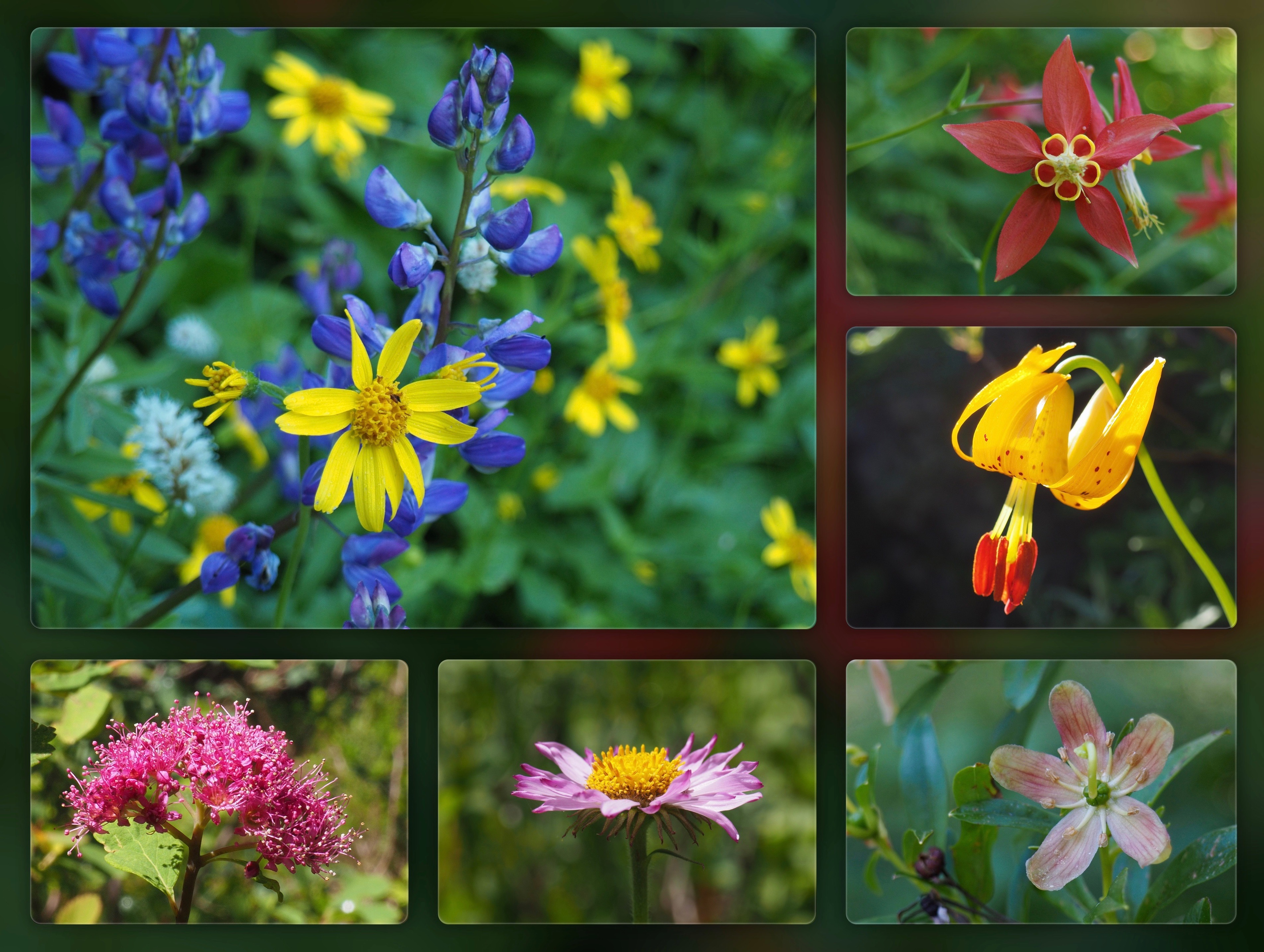 Throughout the boglands and along the woodland slopes, an array of summer wildflowers stipples the wayside. Clockwise from the top left, golden arnicas (Arnica sp.) and cobalt lupines (Lupinus sp.) join in complementary contrast; a western, or, Sitka columbine (Aquilegia formosa) reveals a honeycombed pinwheel; a Columbia lily (Lilium columbianum) nods into the brilliant sunshine; a copperbush (Elliottia pyroliflora) rears its elephantine pistil; a subalpine fleabane (Erigeron glacialis) unfurls its petals sunward; and a subalpine spirea (Spiraea splendens) lofts a sweetly scented nosegay. Walt Bailey Trail, July 24, 2016.