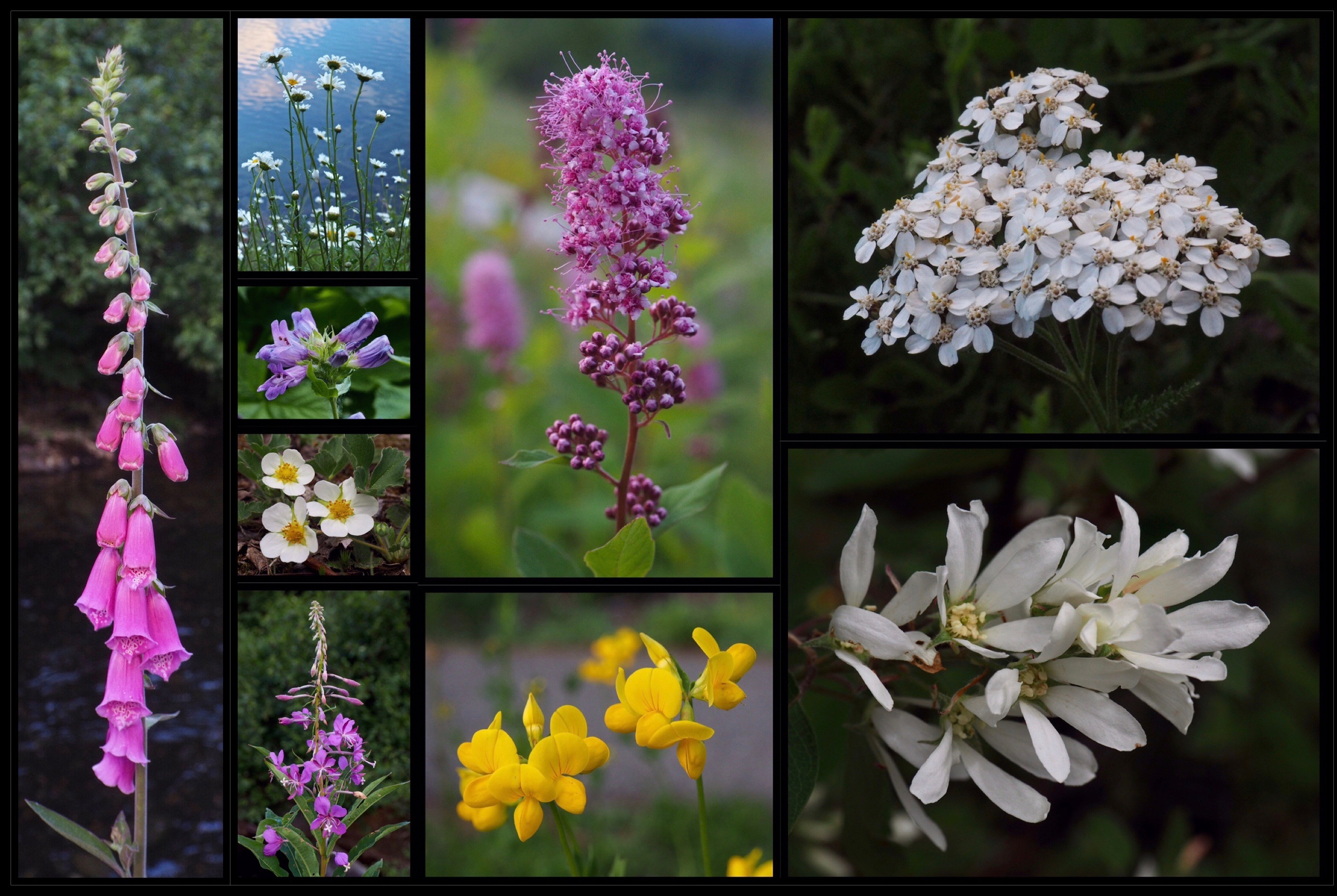 Around the picnic area and in forest openings along the loop trail, look for additional wildflowers, including common, or, purple foxgloves (Digitalis purpurea) (first column); oxeye daisies (Leucanthemum vulgare) (second column, top); Cascade beardtongues (Penstemon serrulatus) (second column, upper center); blueleaf strawberries (Fragaria virginiana) (second column, lower center); fireweed (Chamerion angustifolium) (second column, bottom); rose or Douglas's spirea, a.k.a. hardhack (Spiraea douglasii) (third column, top); birdsfoot deervetch, or, birdsfoot trefoil (Lotus corniculatus) (third column, bottom); common yarrow (Achillea millefolium) (fourth column, top); and western serviceberries (Amelanchier alnifolia) (fourth column, bottom). Gold Creek Pond Loop, July 08 and 10, 2018.