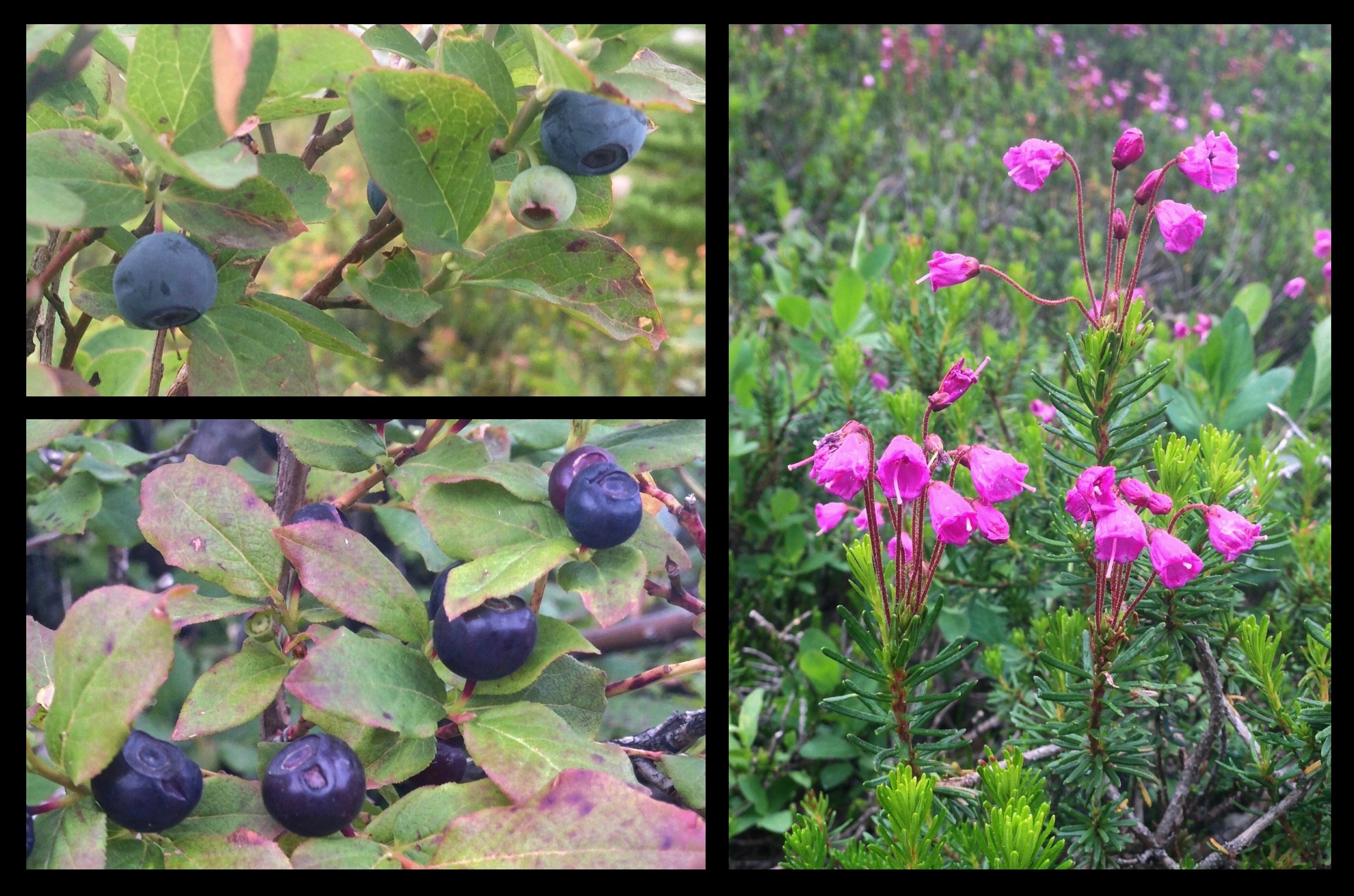 Granite Mountain's signature blueberries (Vaccinium sp.) (upper and lower left) mingle with pink mountain-heath (Phyllodoce empetriformis) (right) throughout the alpine meadow and rock garden to provide a combination of treats for the sight ad taste. The primary blueberry species on the mountain is the Cascade blueberry (V. deliciosum) (top left), which bears downward facing, powder-coated, true blue berries that are almost hidden by its leaves. Similar looking and equally tasty blueberry cousins are also present, including the tall, or, black huckleberry (V. membranaceum) (lower left), which is distinguished by its purple-hued berries that lack a powdery coating and are borne upward and outward above its leaves. Throughout summer, drifts of heath bloom in shades of pink; in autumn, the blueberries continue the display with foliage ranging from smokey purple to blazing red. Granite Mountain Trail, August 29, 2014.