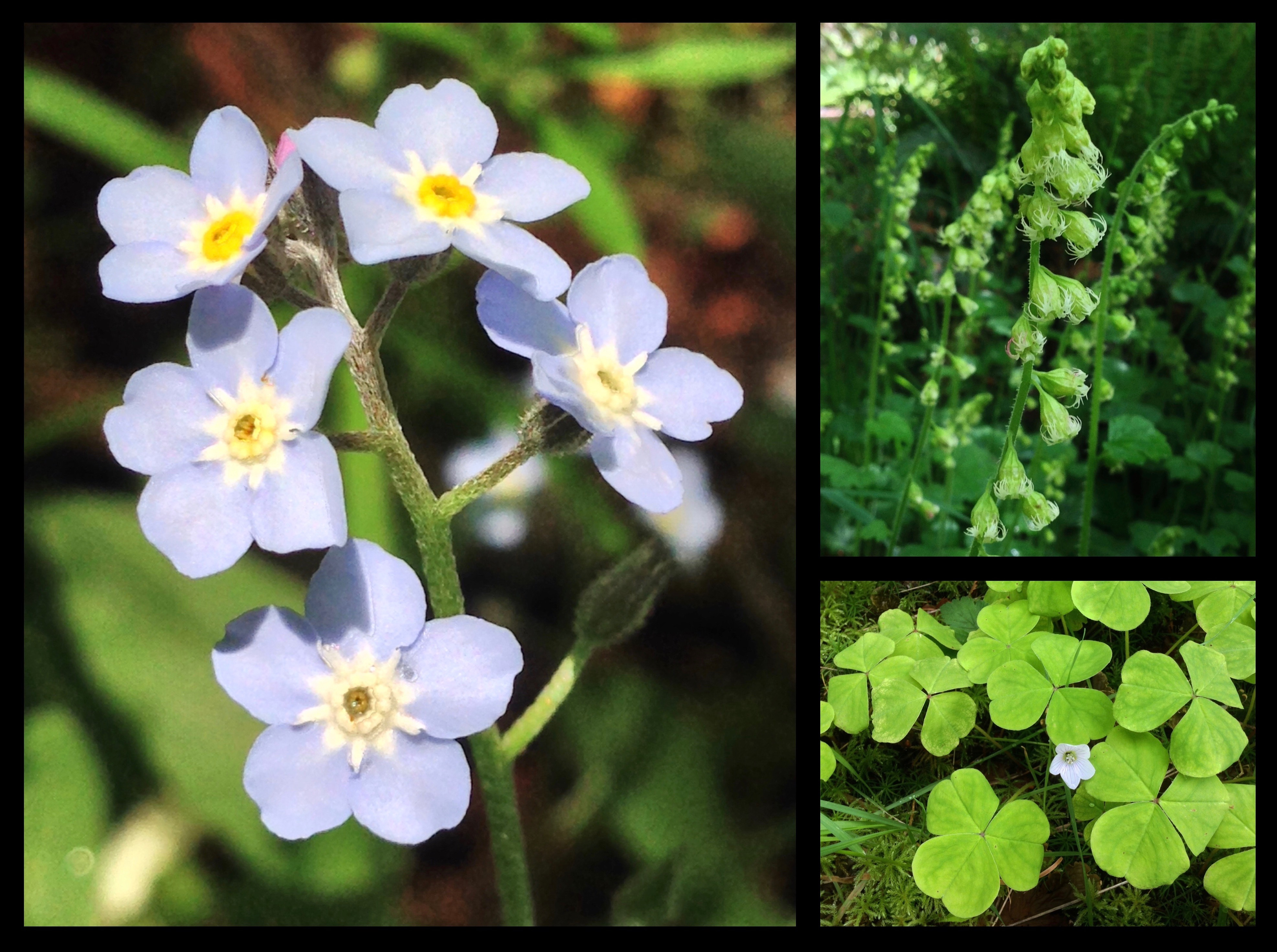 The riverine wayside hosts drifts of shade-loving wildflowers, including forget-me-nots (Myosotis scorpioides) (left), demurely nodding fringecups (Tellima grandiflora) (top right), and shamrock-like Oregon wood sorrels (Oxalis oregana) (lower right), which fold their pleated leaves downward like so many tiny umbrellas when struck by sunlight, quickly to reopen them when its scorching rays pass. Kloshe Nanitch Trail, May 19, 2014.
