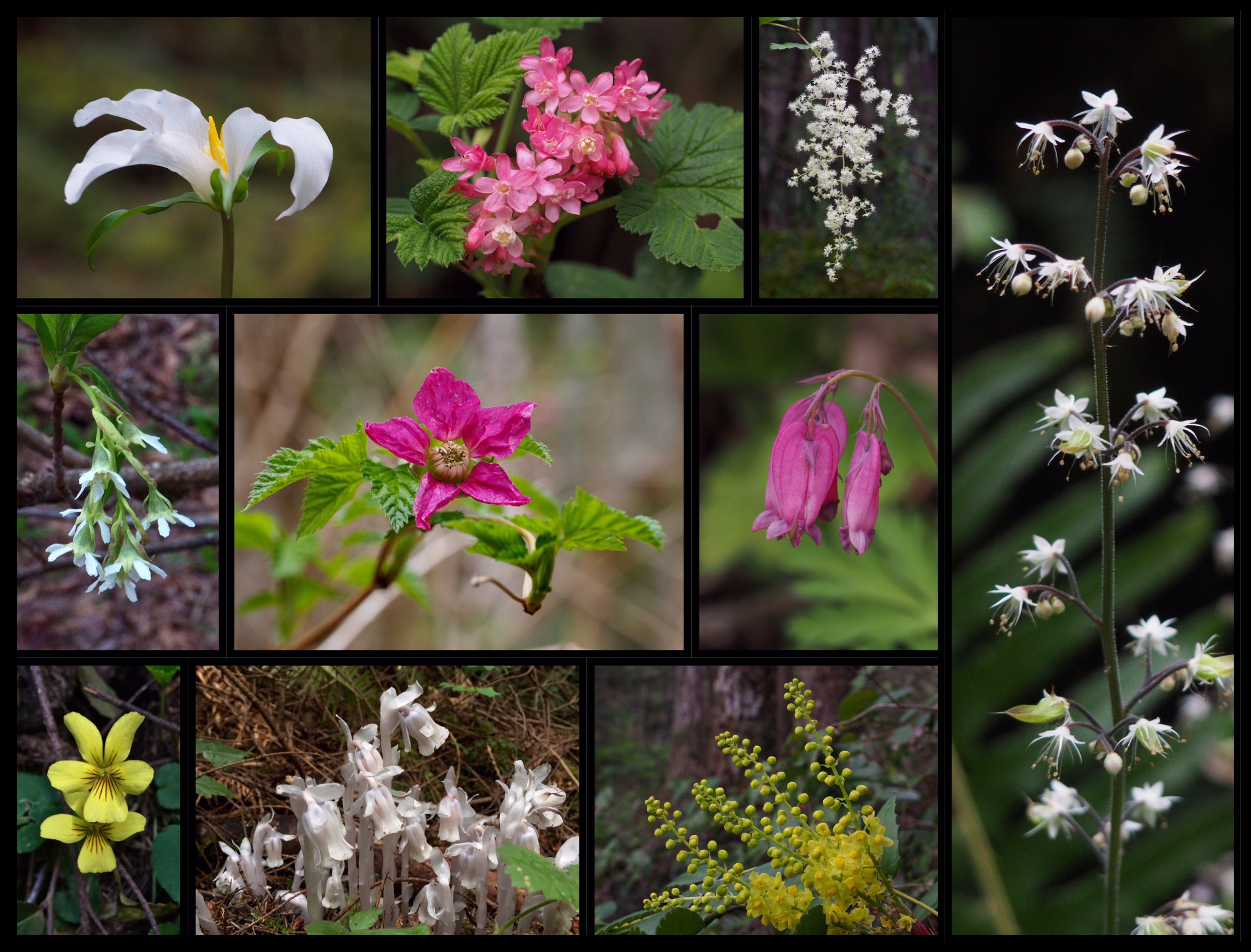 Although Little Si's shadowy woodland is not known for its wildflowers, many still brighten the trailside throughout the seasons, including Pacific trilliums (Trillium ovatum) (top row, left), red-flowering currants (Ribes sanguineum) (top row, left center), ocean-spray (Holodiscus discolor) (top row, right center), cut-leaved foamflowers (Tiarella trifoliata) (right), oso berries (Oemleria cerasiformis) (middle row, left), salmonberries (Rubus spectabilis) (middle row, left center), Pacific bleeding hearts (Dicentra formosa) (middle row, right center), round-leaved violets (Viola orbiculata) (lower row, left), ghost pipes (Monotropa uniflora) (lower row, left center), and Cascade Oregon-grapes (Berberis nervosa a.k.a. Mahonia nervosa) (lower row, right center). Little Si Trail and Boulder Garden Loop, March, April, and July 2016 and 2019.