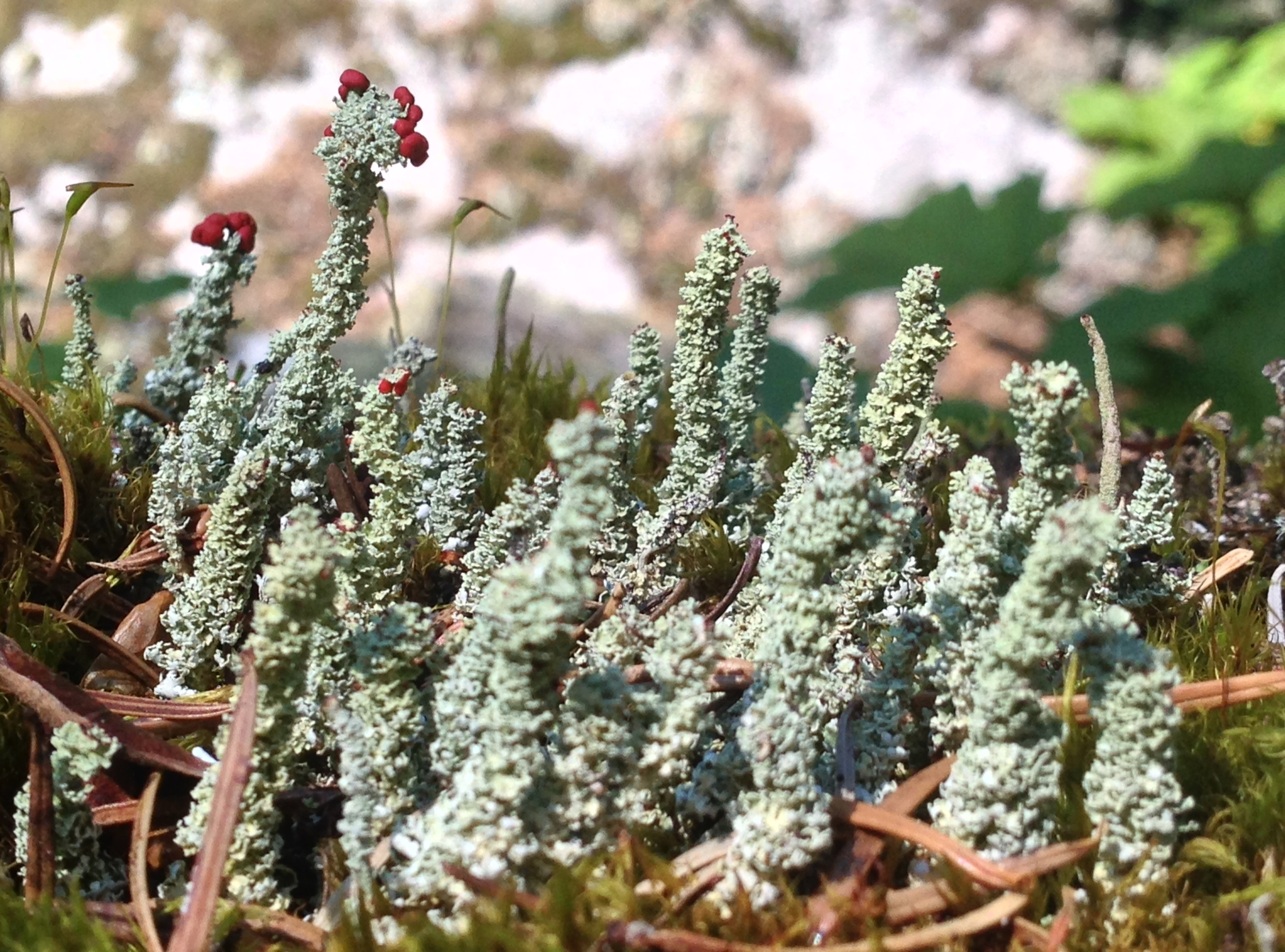 Atop the trailside boulders, look for tiny groves of lichens (here, likely toy soldiers, Cladonia bellidiflora. Melakwa - Pratt Lake Traverse, August 03, 2014.
