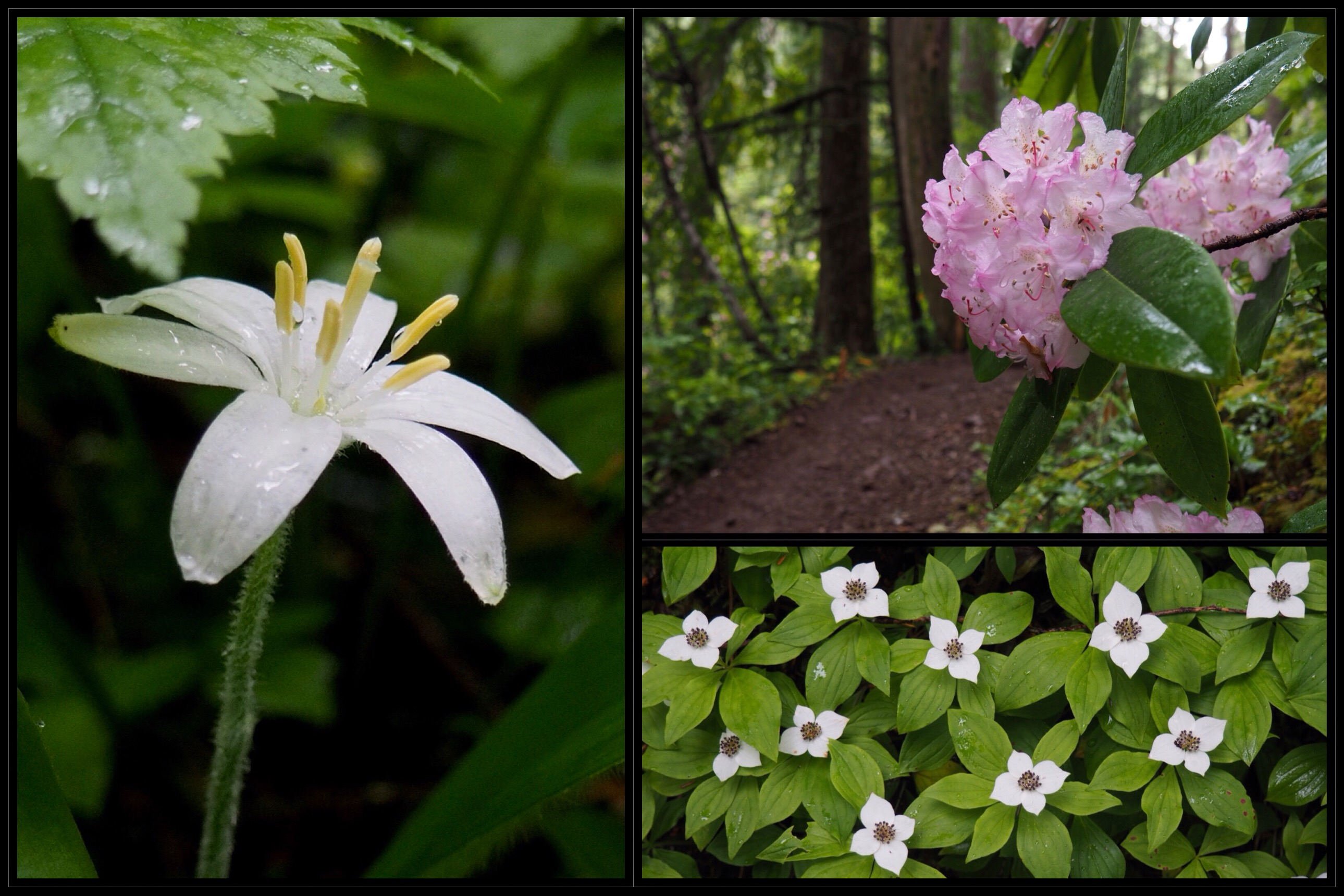 In late spring, Washington's state flower, the Pacific, or coast rhododendron (Rhododendron macrophyllum) (upper right) graces the shadowy, lower-elevation woodland with giant blossoms rivaling those of its hybrid garden cousins in form and hue, while queen's cups (Clintonia uniflora) (left) and western bunchberries (Cornus unalaschkensis) (lower right) carpet the forest floor with myriad starry blooms. Upper Big Quilcene Trail, June 16, 2016.