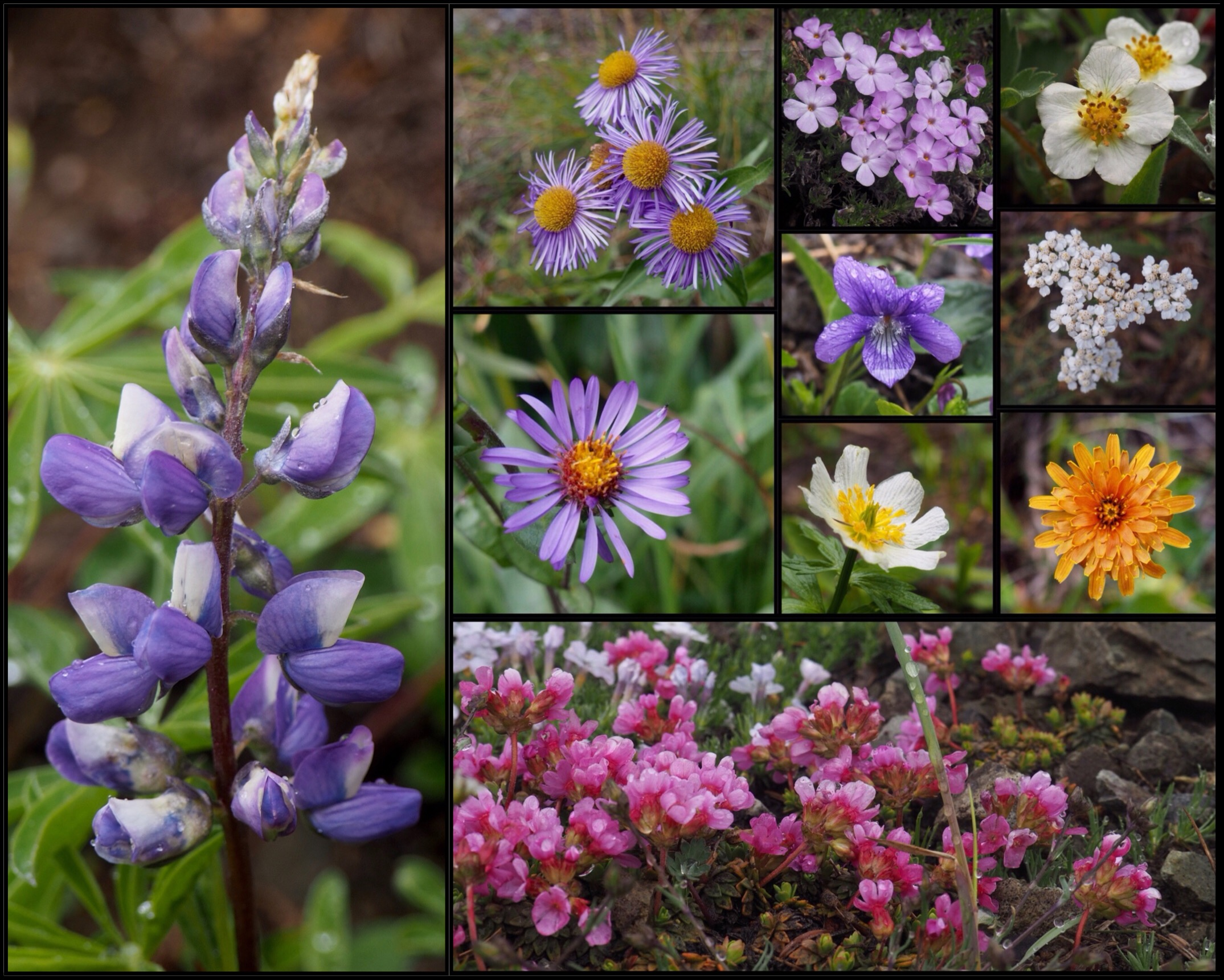 In the harsher climate near the treeline, still other blooms flourish, including lupines (Lupinus sp.) (first column), splendid fleabanes (Erigeron speciosus) (second column, top), alpine leafybract asters (Symphyotrichum foliaceum) (second column, center), spreading phlox (Phlox diffusa) (third column, top), violets (Viola sp.) (third column, upper center), western globeflowers (Trollius albiflorus) (third column, lower center), strawberries (Fragaria sp.) (fourth column, top), common yarrow (Achillea millefollium) (fourth column, upper center), orange agoserises (Agoseris aurantiaca) (fourth column, lower center), and cliff dwarf-primroses (Douglasia laevigata) (bottom). Upper Big Quilcene Trail, June 16 and September 22, 2016.