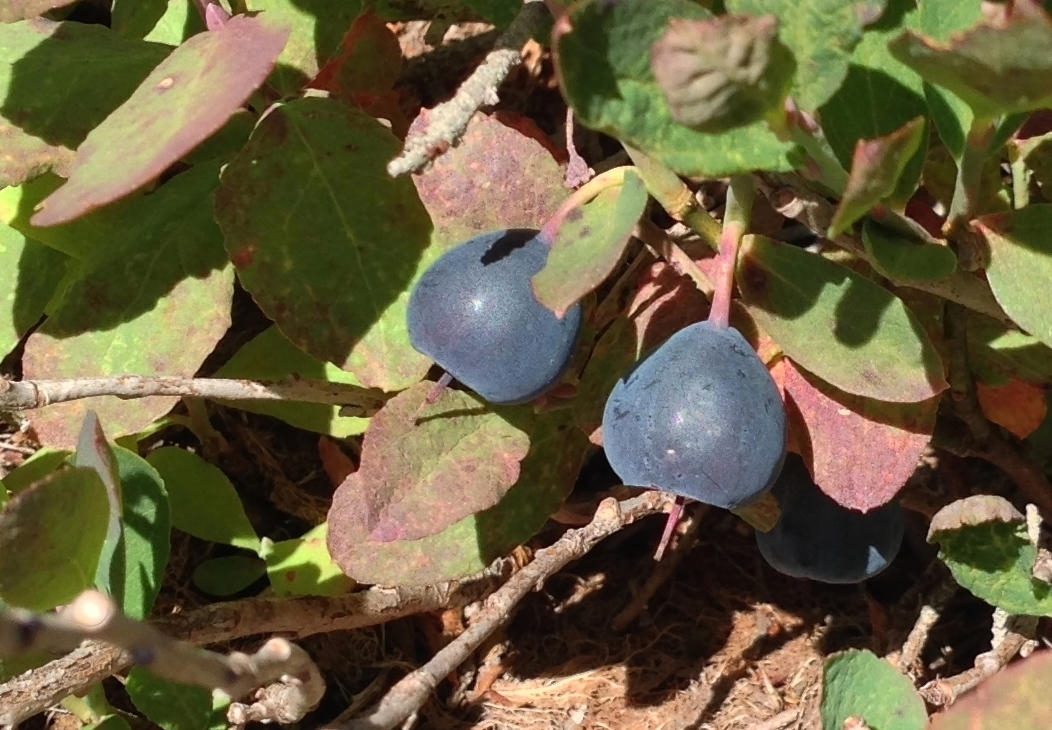 During the fleeting alpine summer, luscious blueberries (likely Cascade blueberries, <em>Vaccinium deliciosum</em>) lie hidden in several barrens near the treeline, their bushes forming an inches-high groundcover where little else grows. Mount Dickerman Trail, September 14, 2014.