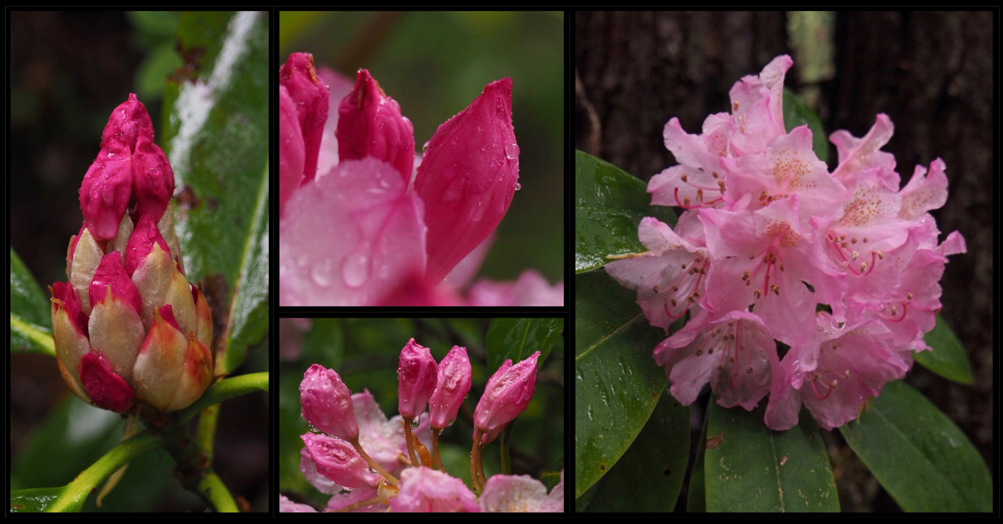 From bud to bloom, the trailside rhododendrons (R. macrophyllum) lend an exotic air to the woodland shadows. Mount Zion Trail, June 15, 2016.