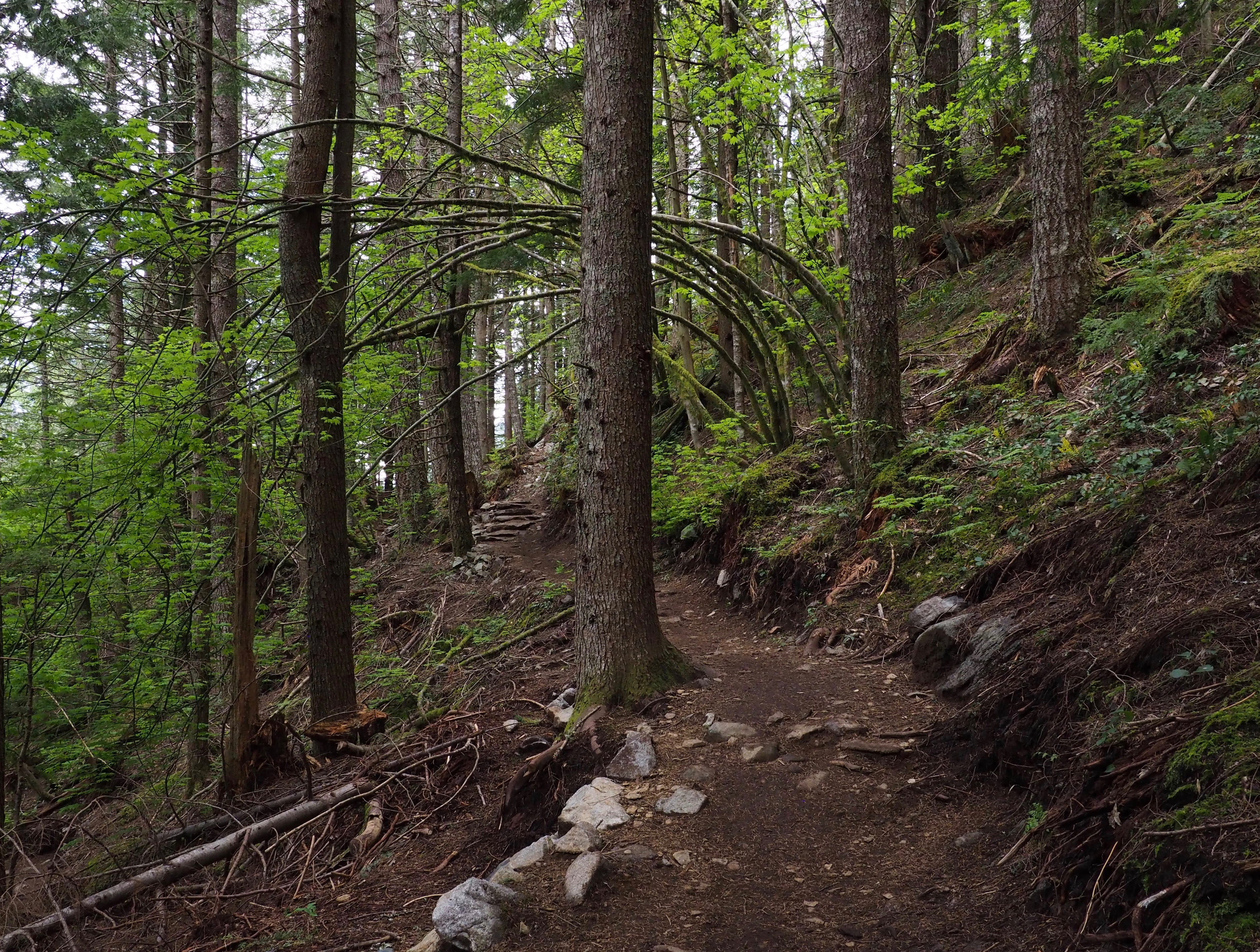 The trail climbs through mostly coniferous forest regrown from Dirty Harry's deeds of decades ago. Dirty Harry's Peak Trail, May 19, 2019.