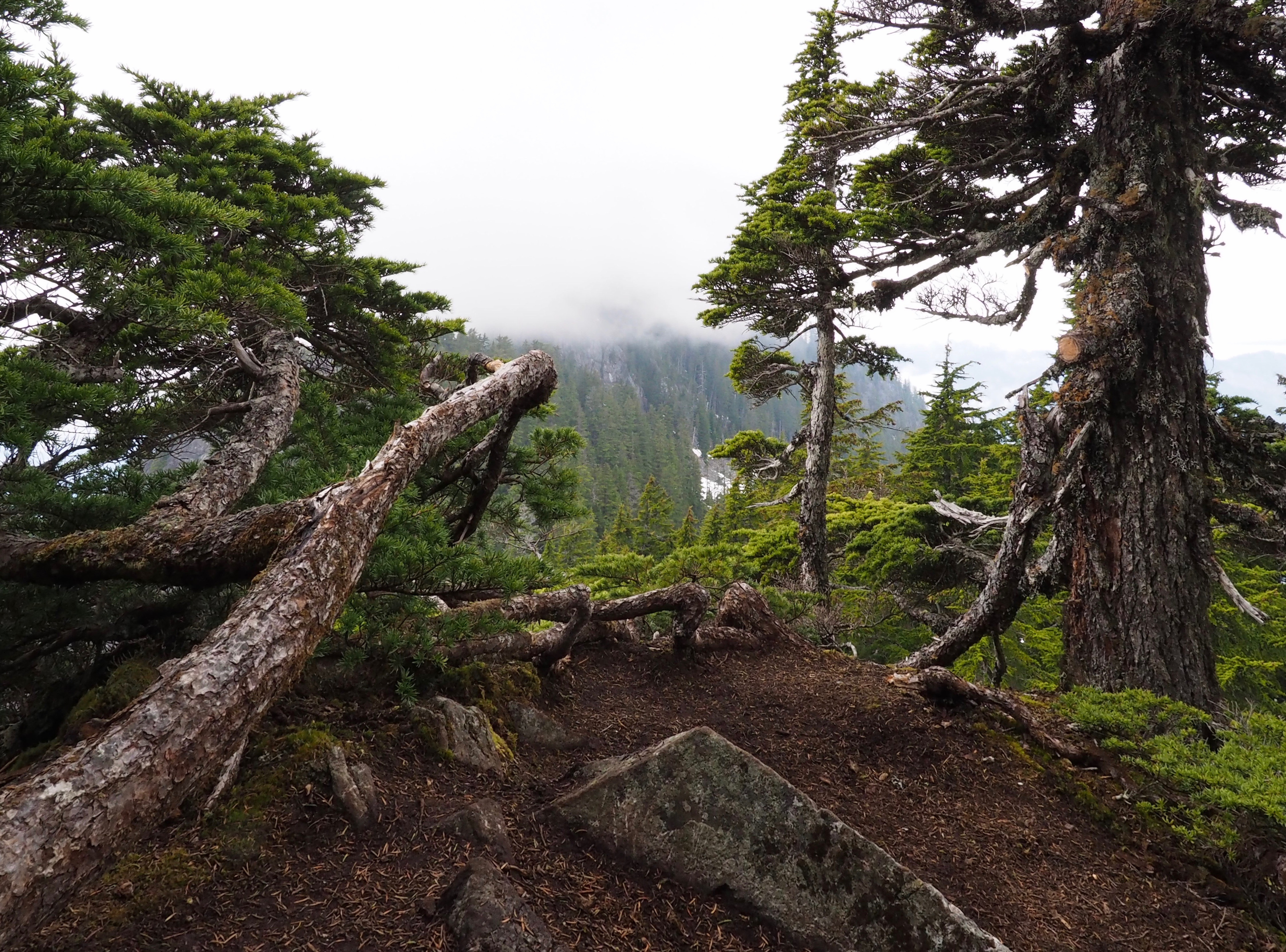 The climb culminates in a clifftop point bounded by bonsai-like branches of mountain hemlock (Tsuga mertensiana) but otherwise exposed to precipitous drop-offs. Exercise great caution in moving about the summit. Dirty Harry's Peak Trail, May 19, 2019.
