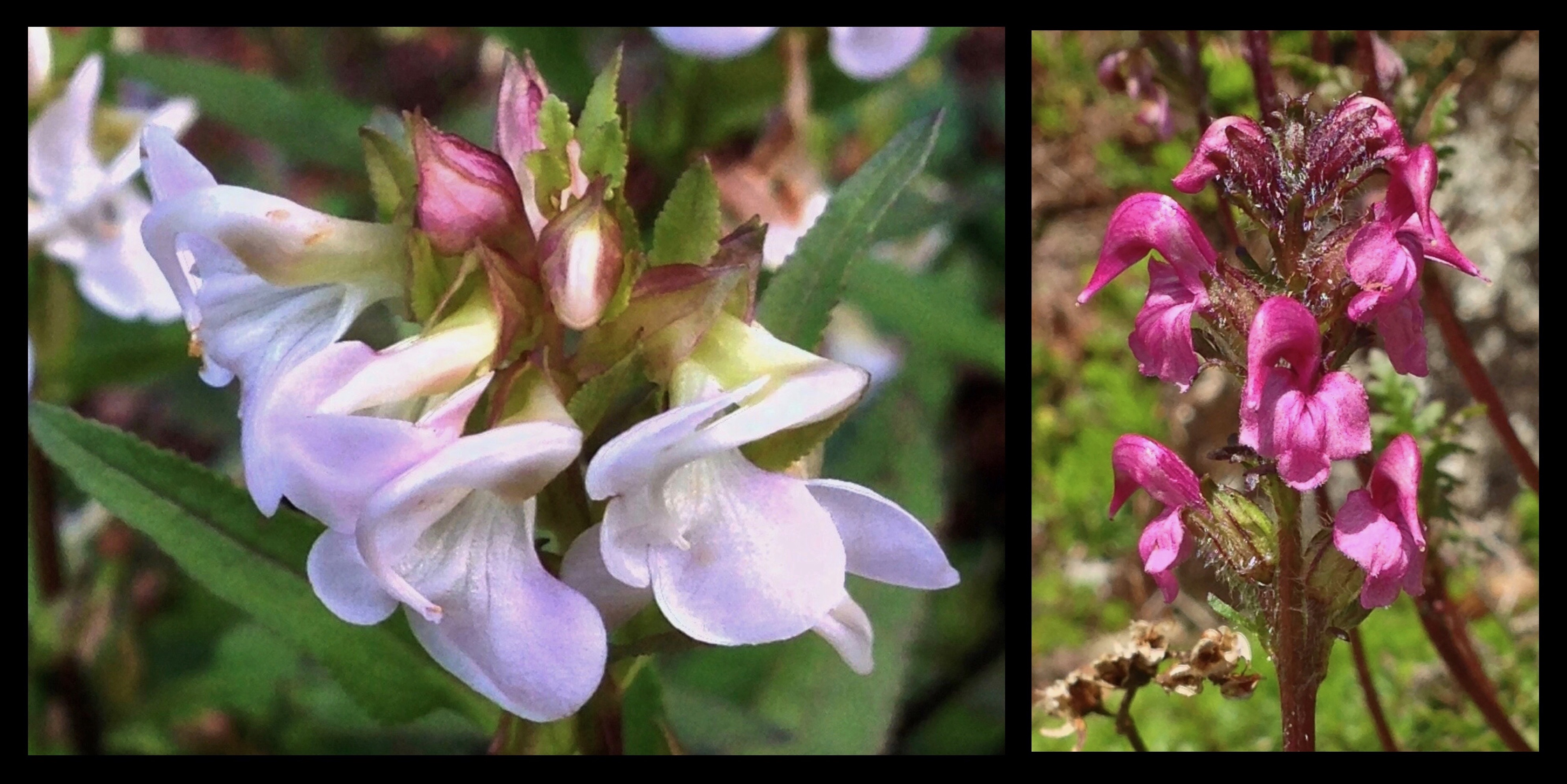 As if frozen in motion, delicately whorled blossoms of the sickletop lousewort (Pedicularis racemosa) (left) resemble a whirling ensemble of silk-draped dancers. Another distinctively formed lousewort, the bird's beak lousewort (P. ornithorhyncha) (right), rears spikes of blooms adorned with flamingo-like topknots. Louseworts are unfortunately named for the contradicting and equally false beliefs that they both attract and repel lice. Pacific Crest Trail, Section J, August 23, 2014.