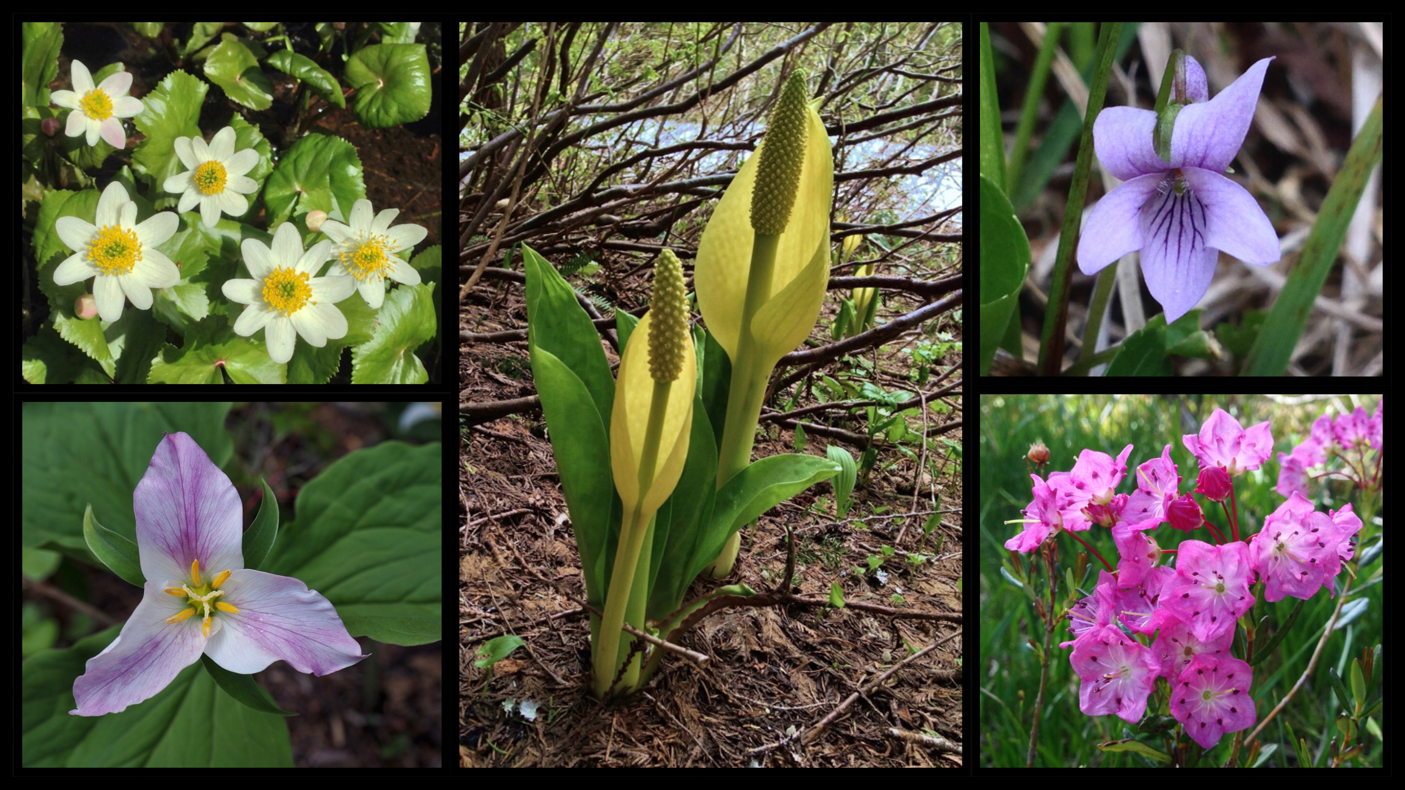 Along the lakes and trailside seeps, look for a variety of moisture-loving wildflowers, look for whimsical wildflowers, including white marsh marigolds (Caltha leptosepala) (upper left), Pacific trilliums (Trillium ovatum) (lower left), skunk cabbage (Lysichiton americanus) (center), marsh violets (Viola palustris) (upper right), and western bog laurel (Kalmia microphylla) (lower right). Talapus and Olallie Lakes Trail, June 09, 2013, May 30, 2016, and June 22, 2014.